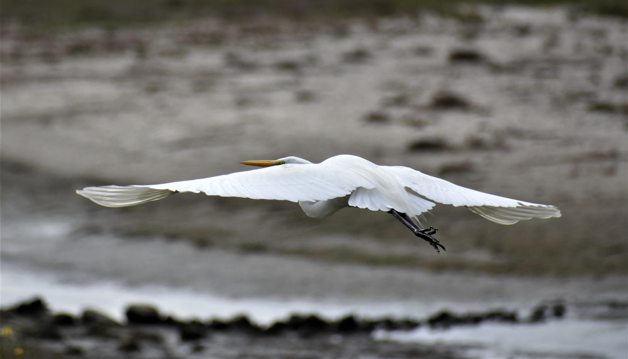 Egret in Flight II by deanna.polk