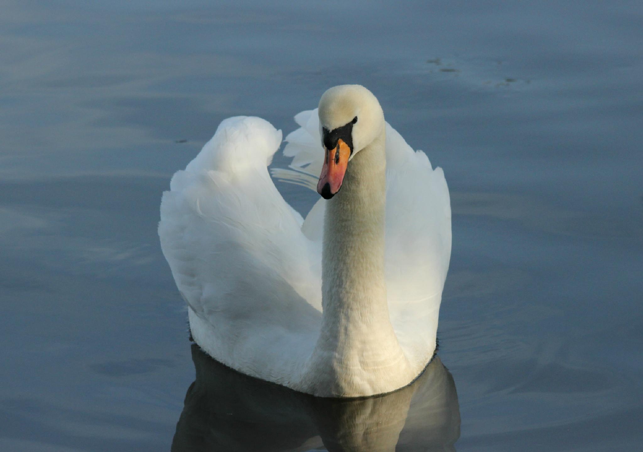 Mute Swan ( Cygnus olor ) by dominicmackenzie67