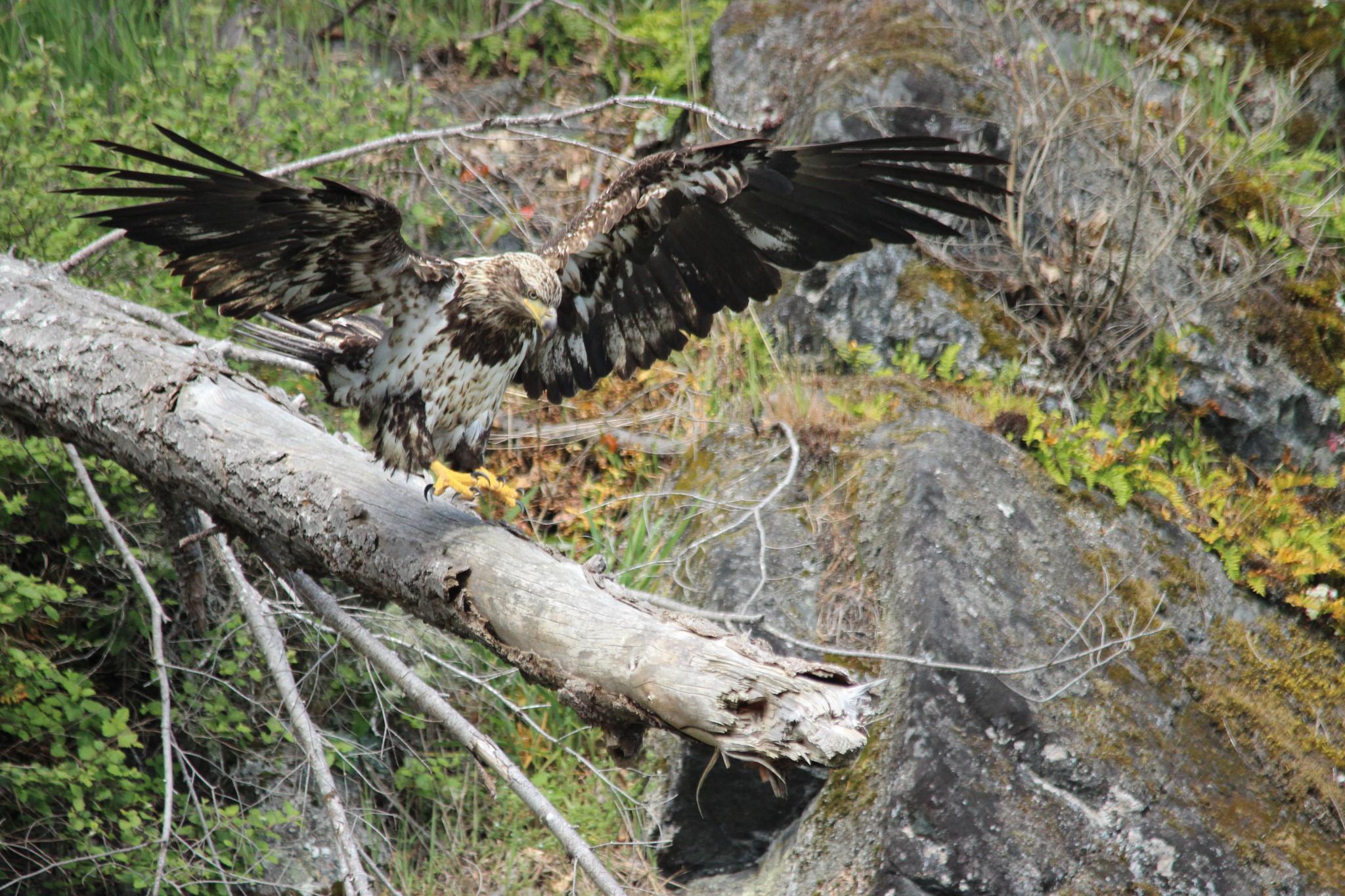 Juvenile Bald Eagle (Haliaeetus leucocephalus) by dominicmackenzie67