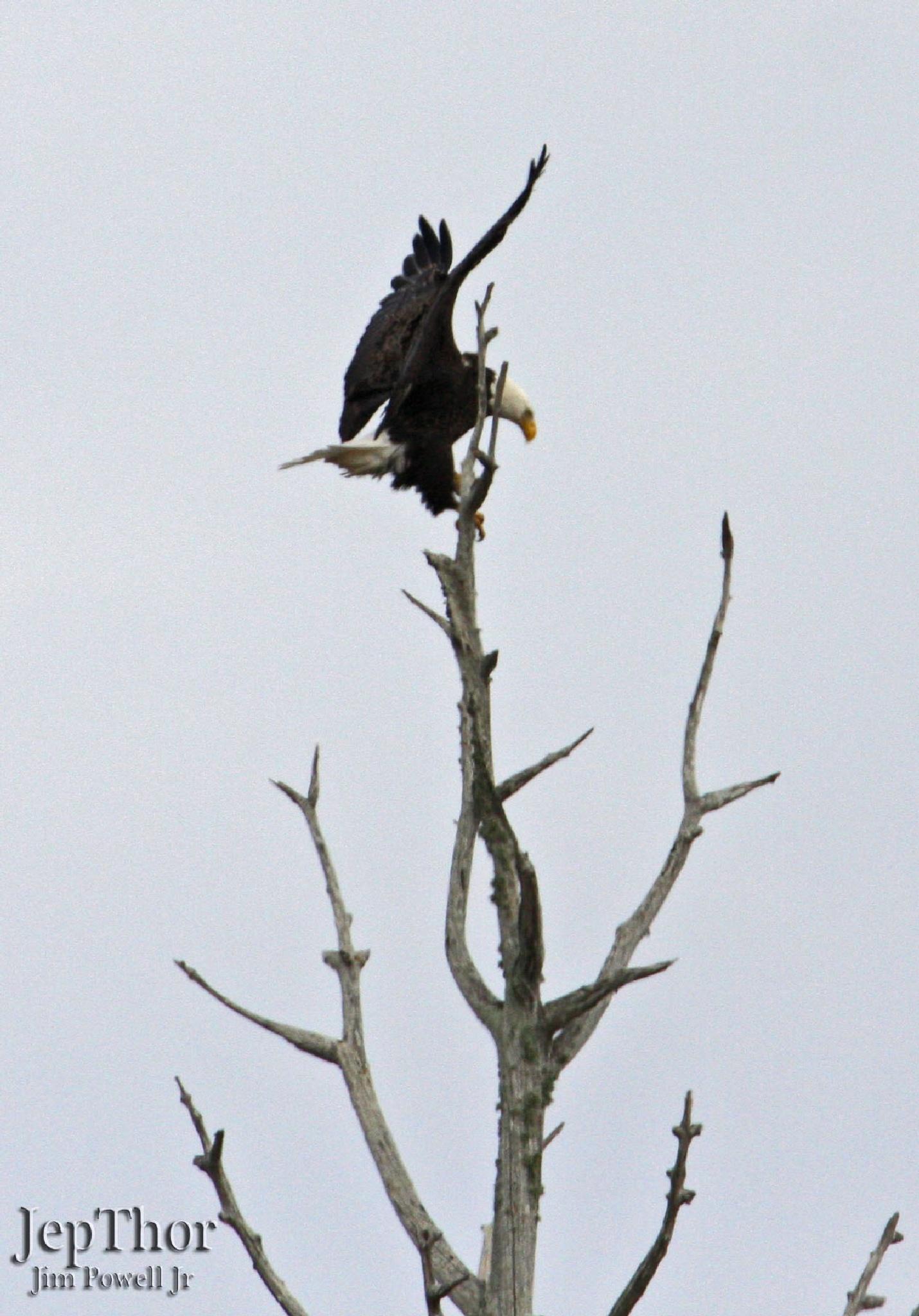 Bald Eagle Landing by JepThor