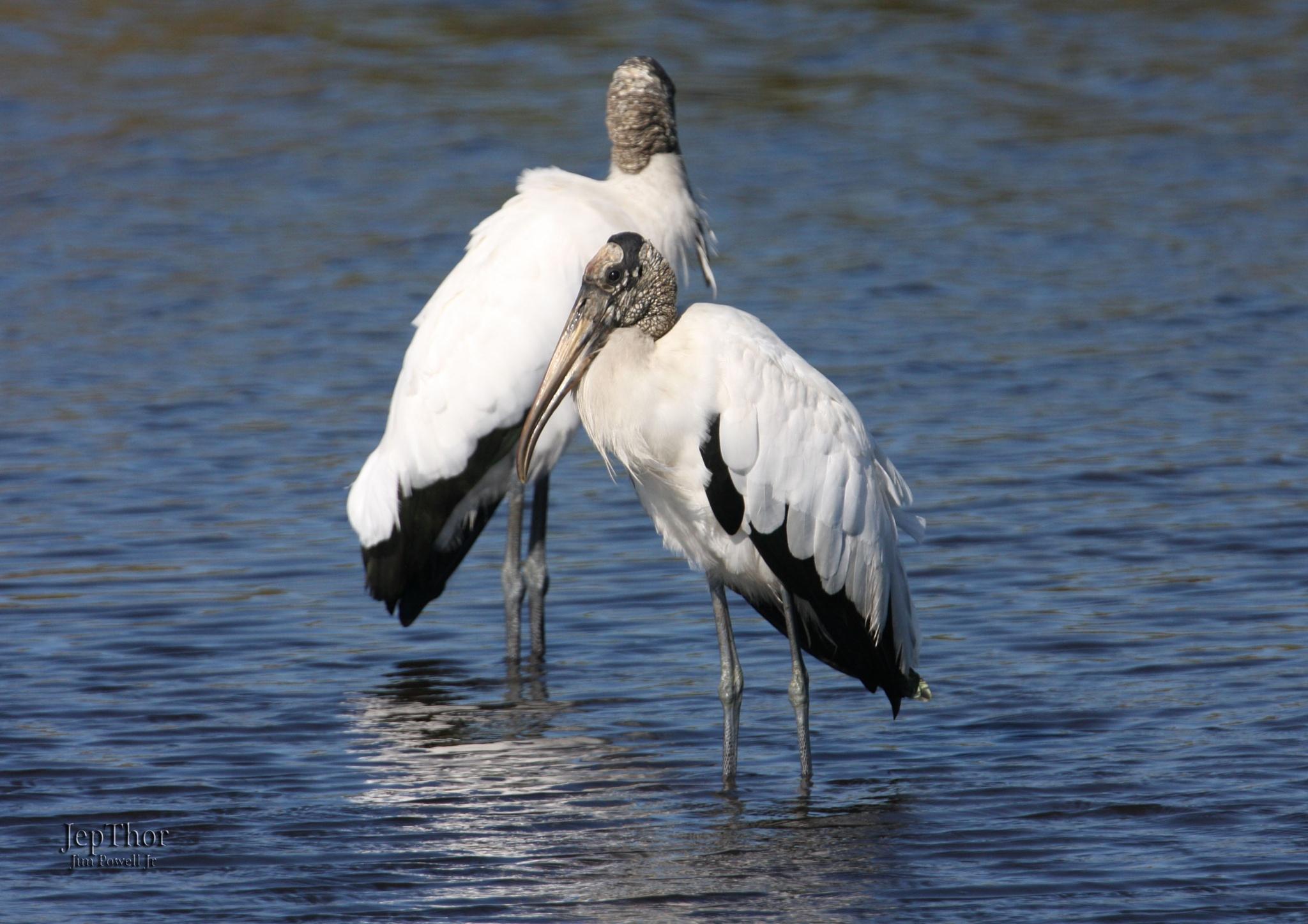 Wood Storks by JepThor