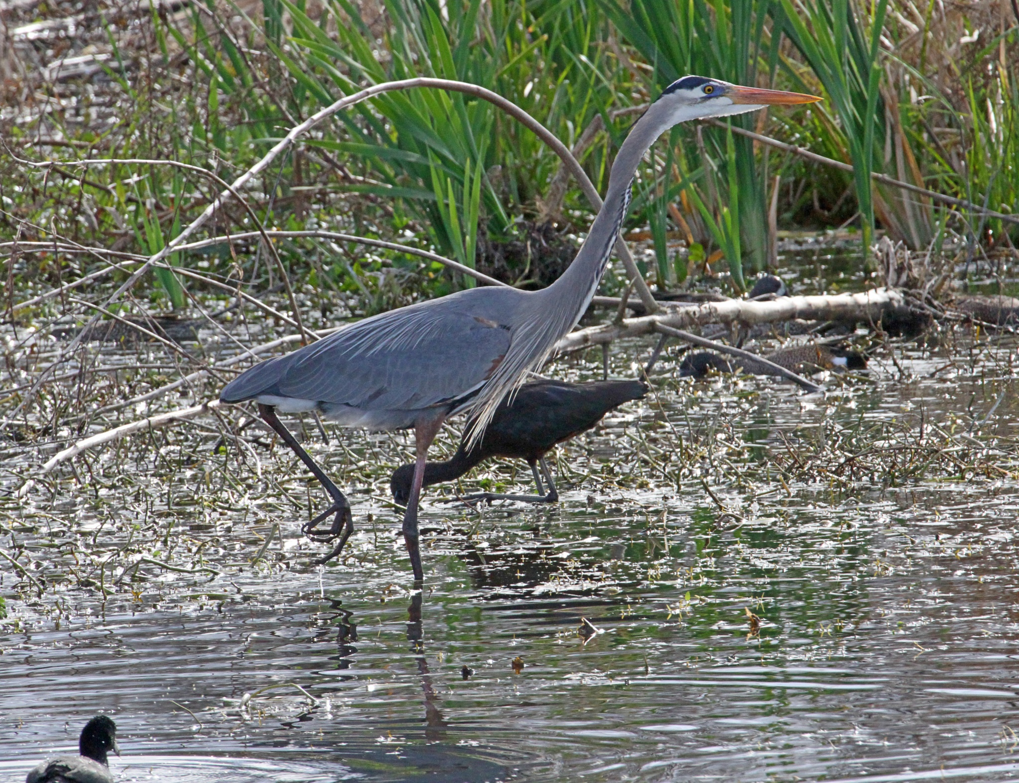 Great Blue Heron and Glossy Ibis by JepThor