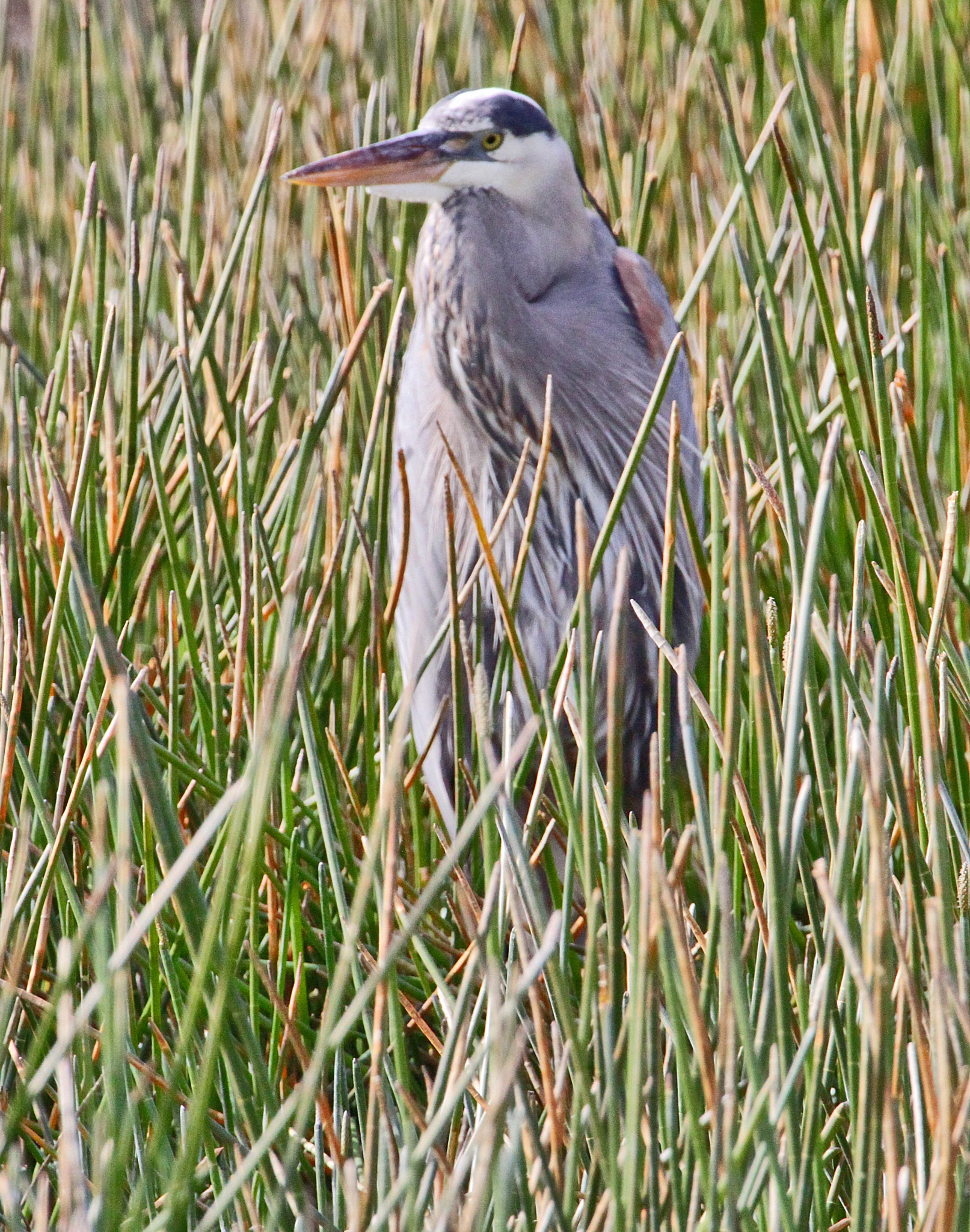 Great Blue Heron in the Reeds by JepThor