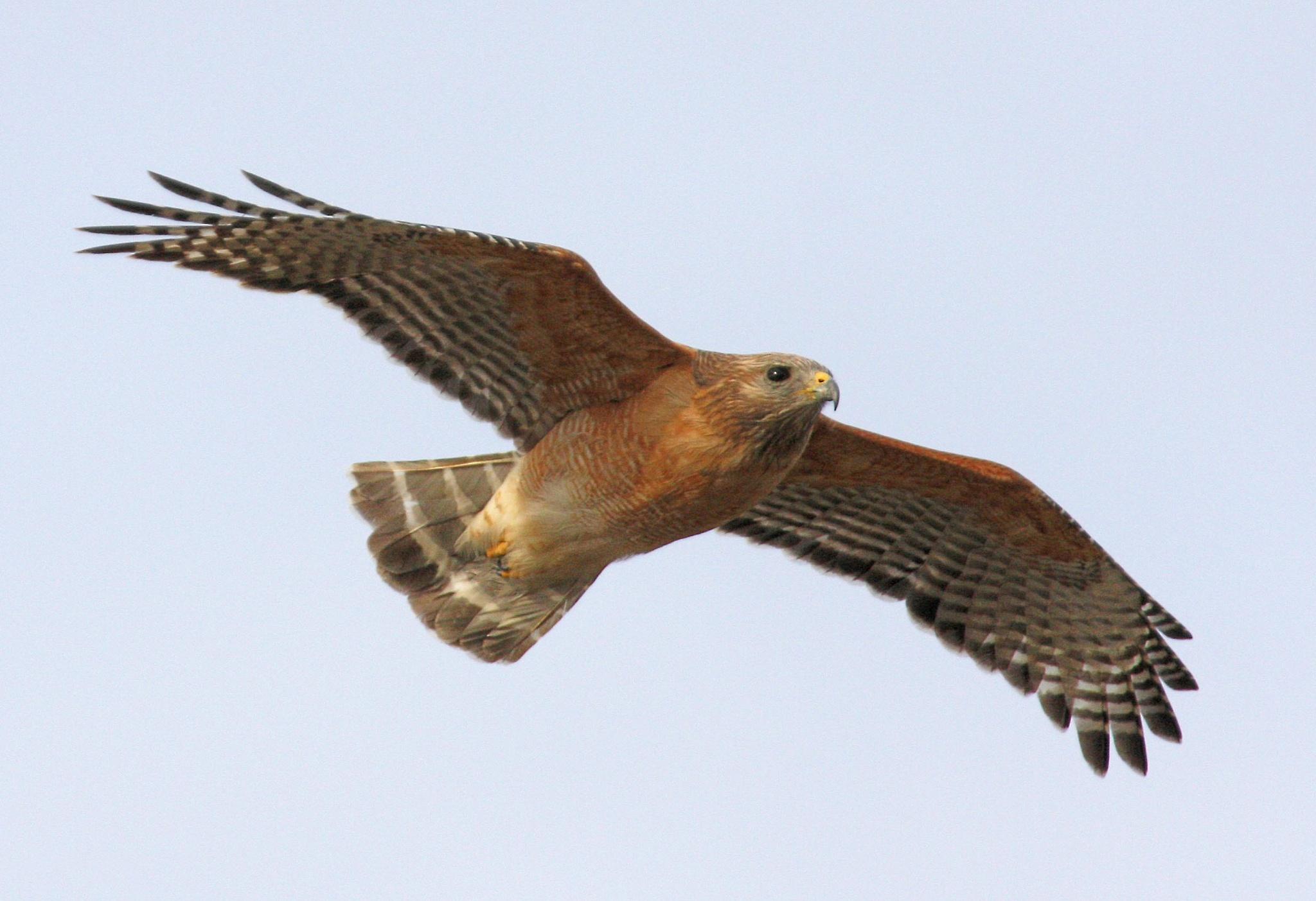 Red Shouldered Hawk in Flight by JepThor