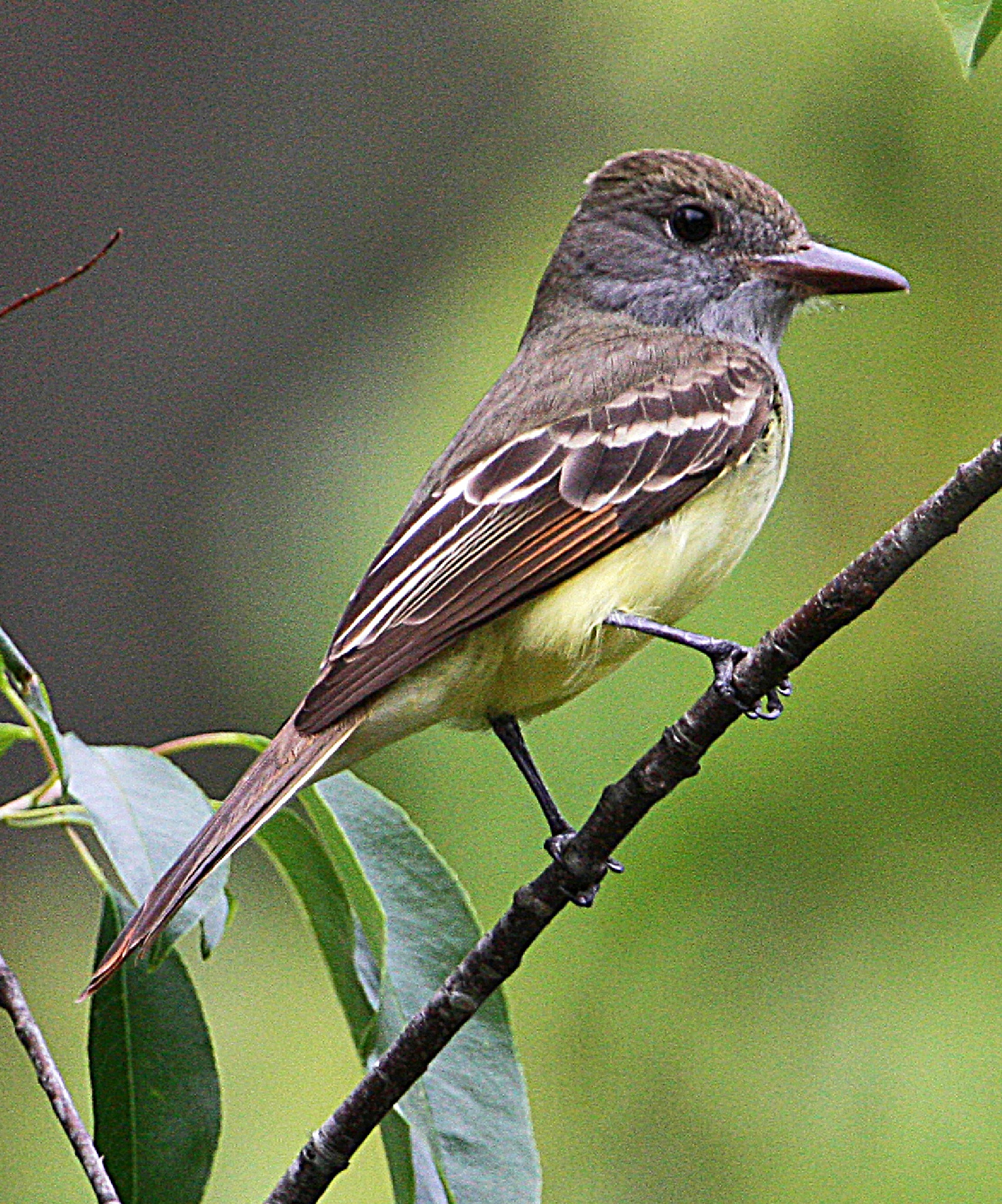 Great Creasted Flycatcher by JepThor