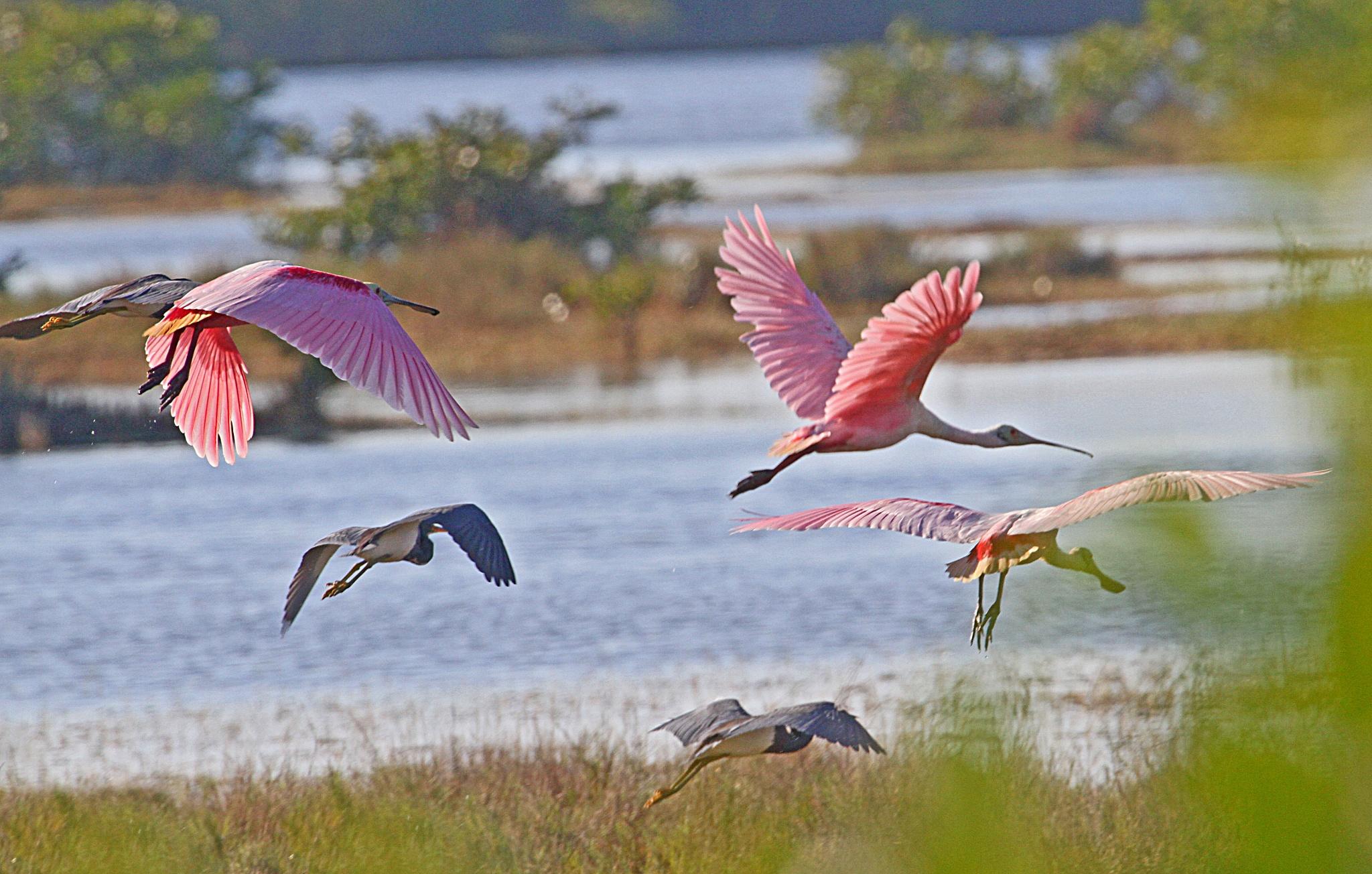 Roseate Spoonbills & Tricolored Herons in Flight by JepThor
