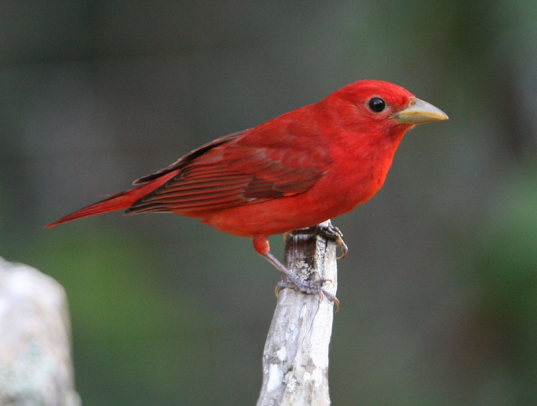 Summer Tanager by JepThor
