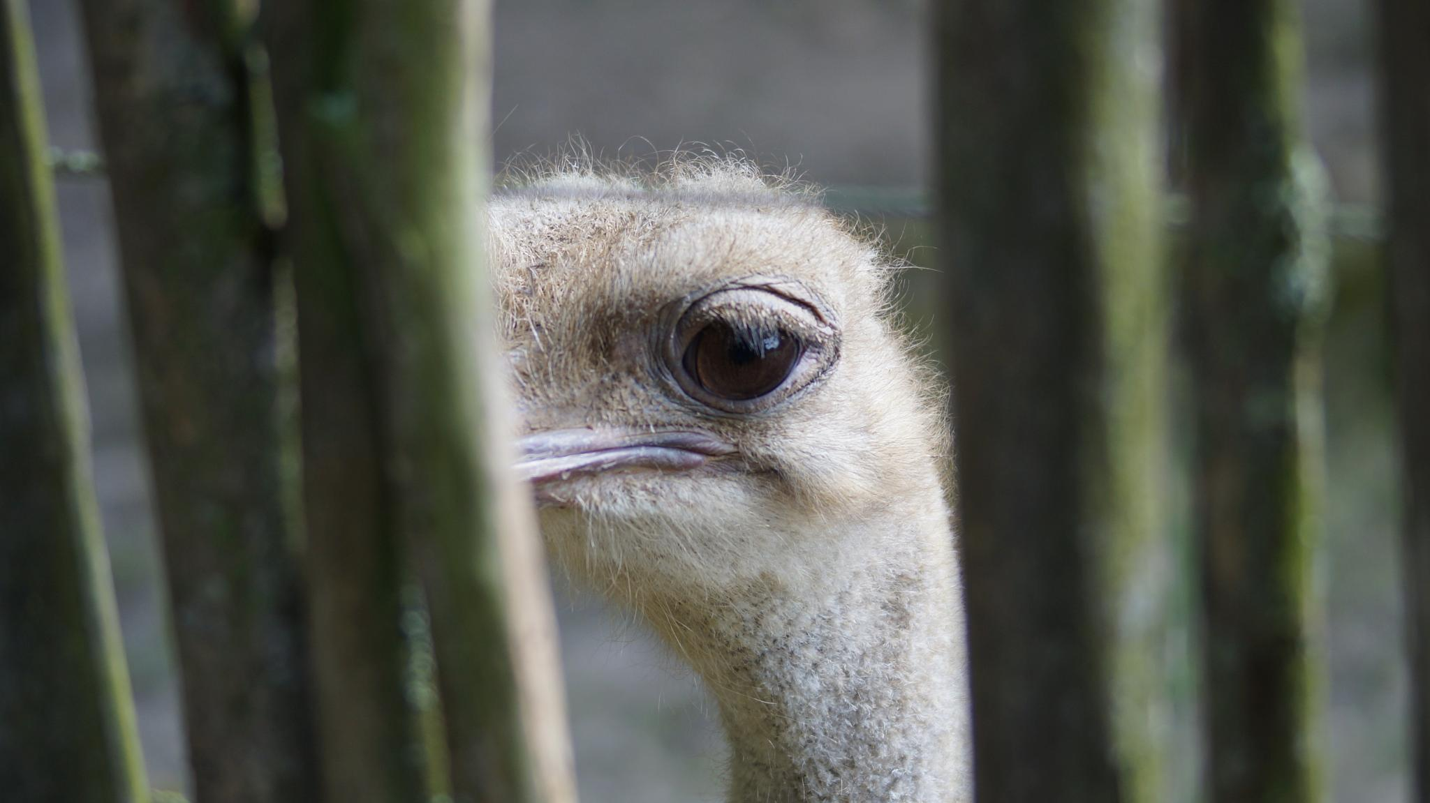 Ostrich by frank.bruls