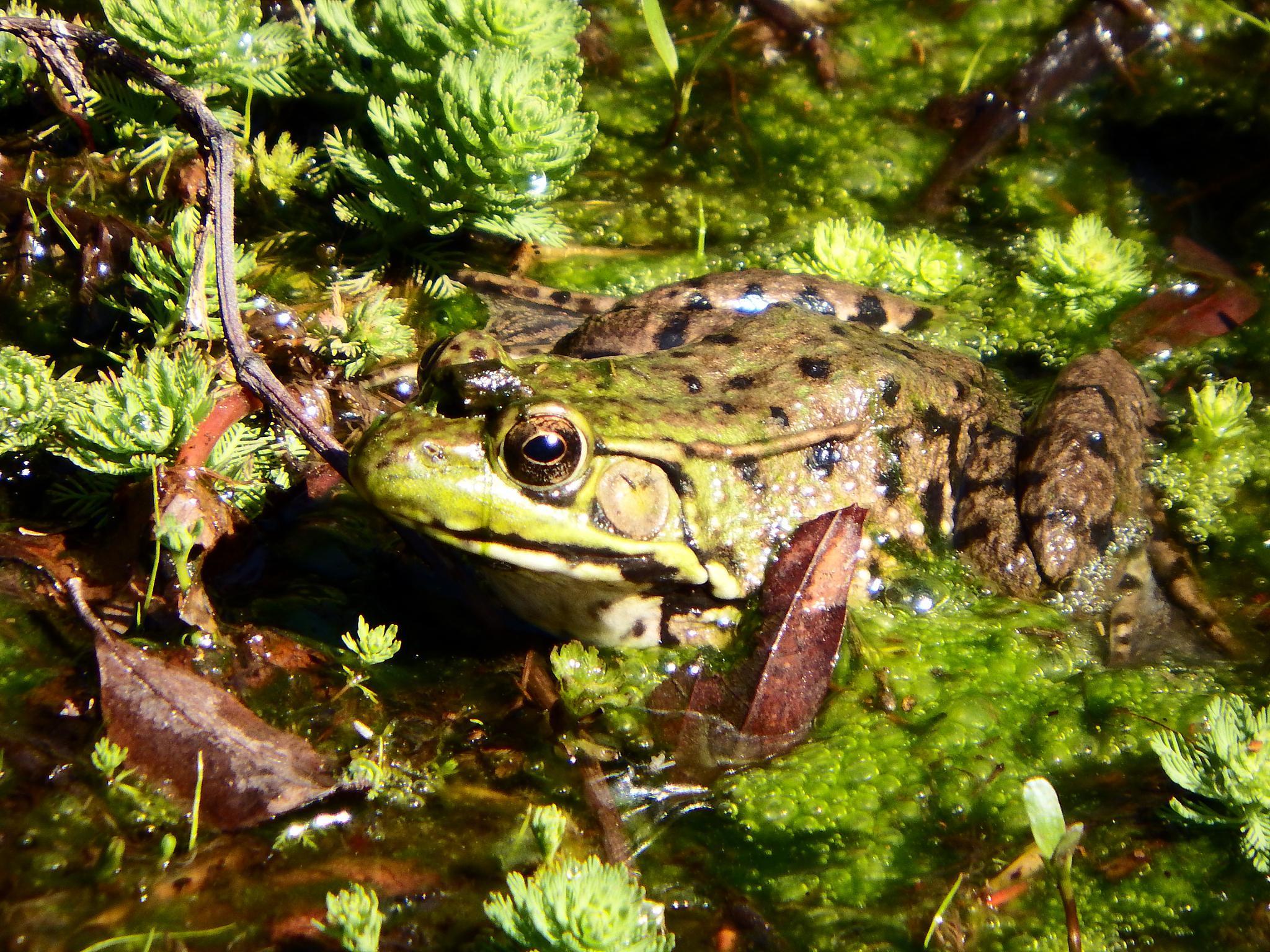 Hello Mr. Frog! by Antonette Stiebritz