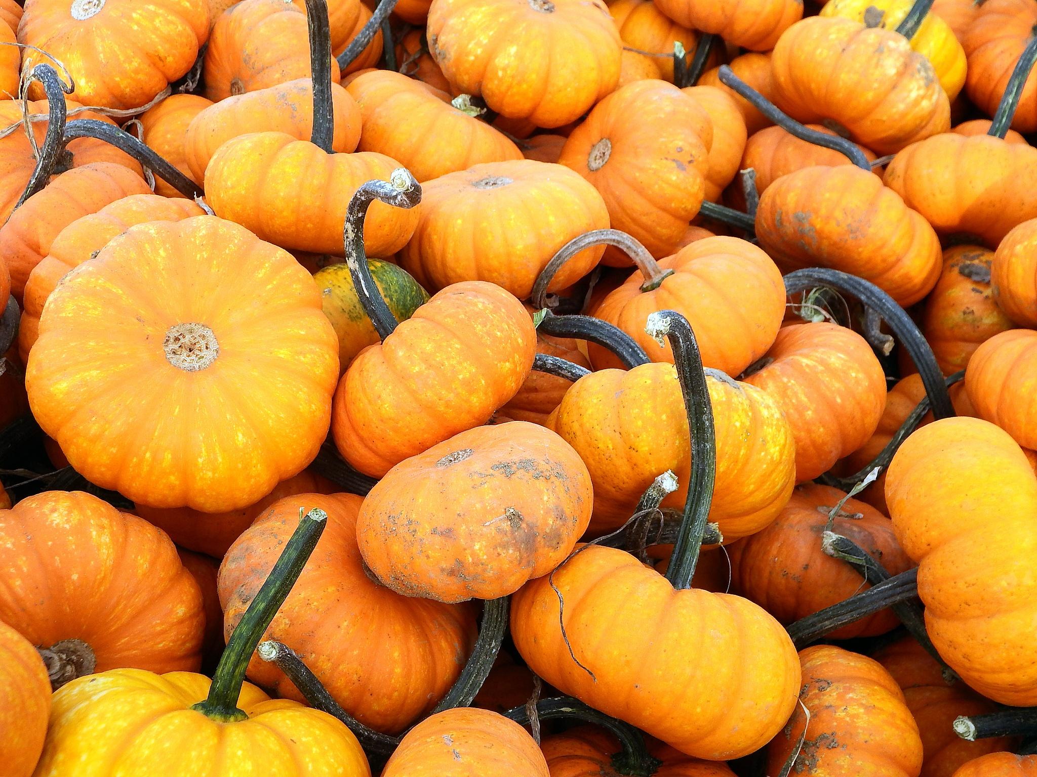 Little Pumpkins by Antonette Stiebritz