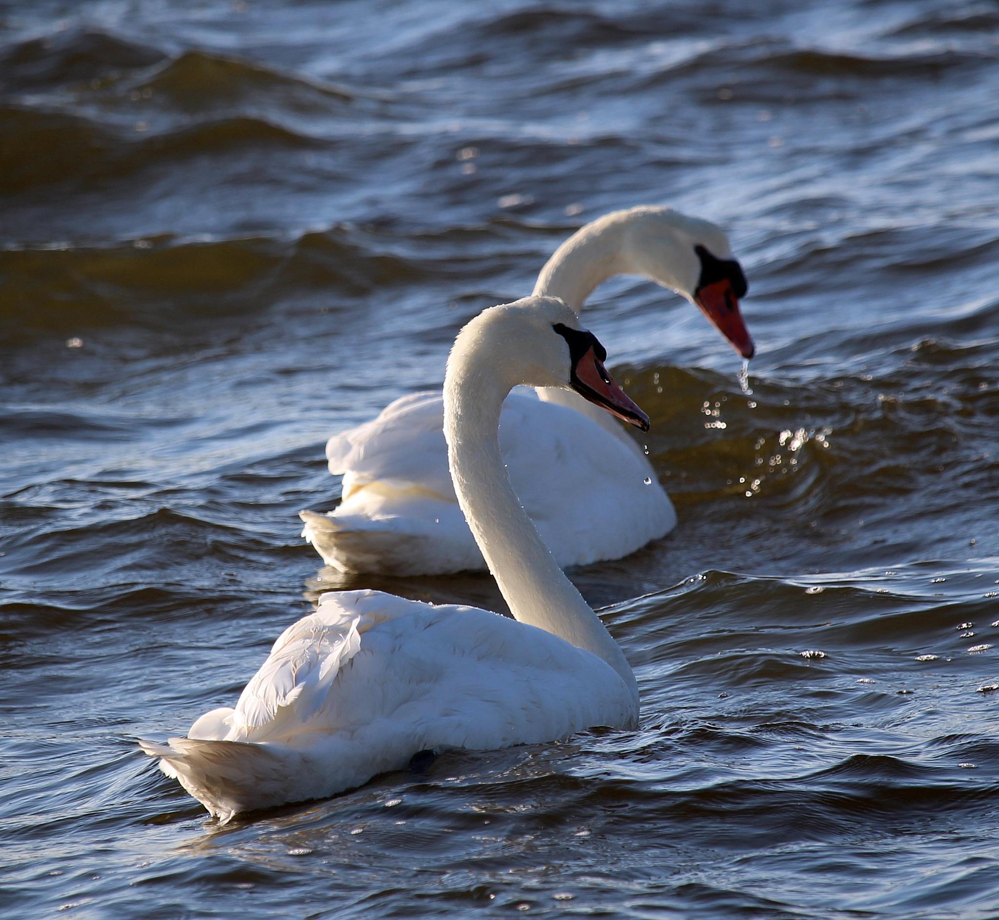 Swans by Antonette Stiebritz