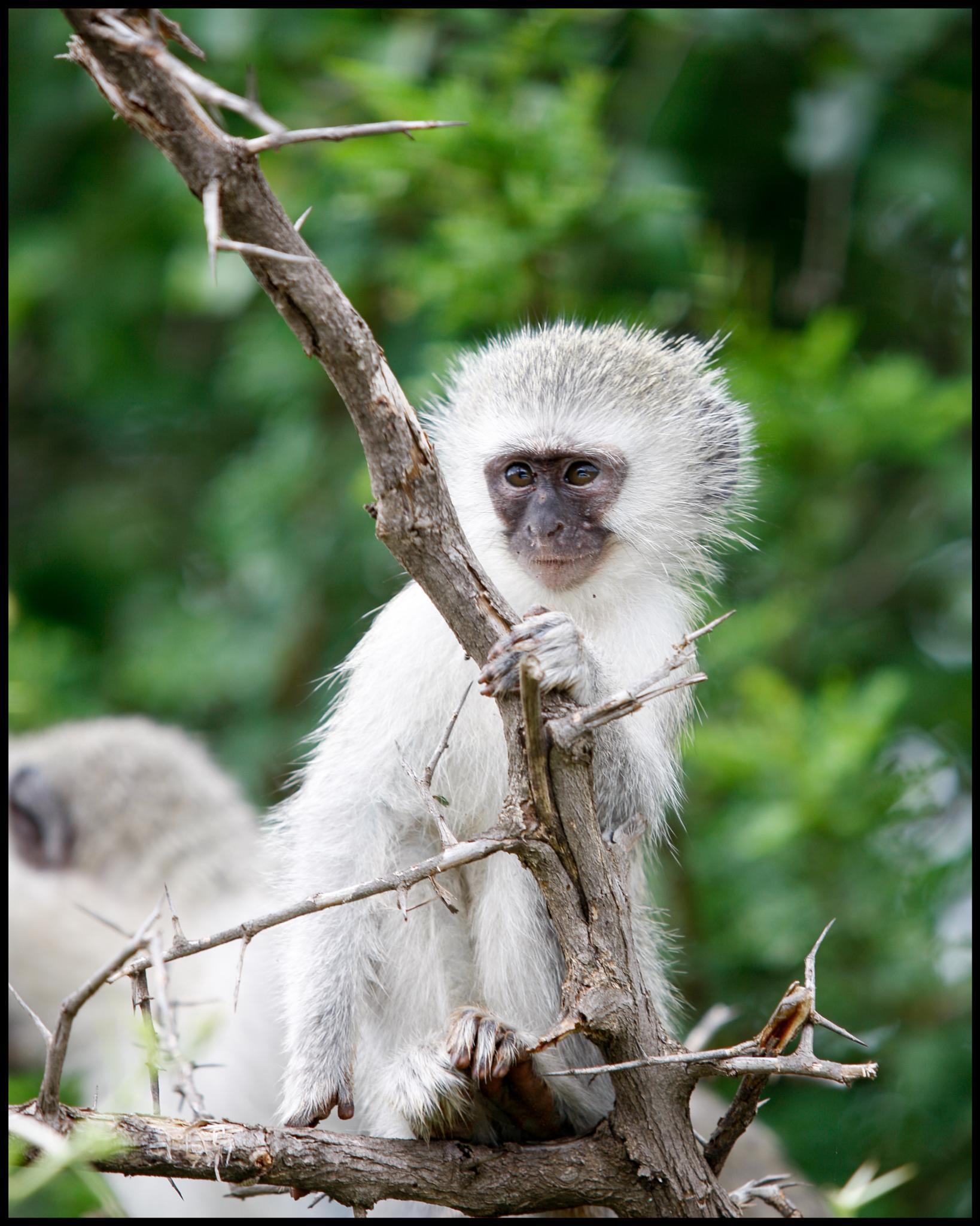 Junior Vervet Monkey by PickledFrog
