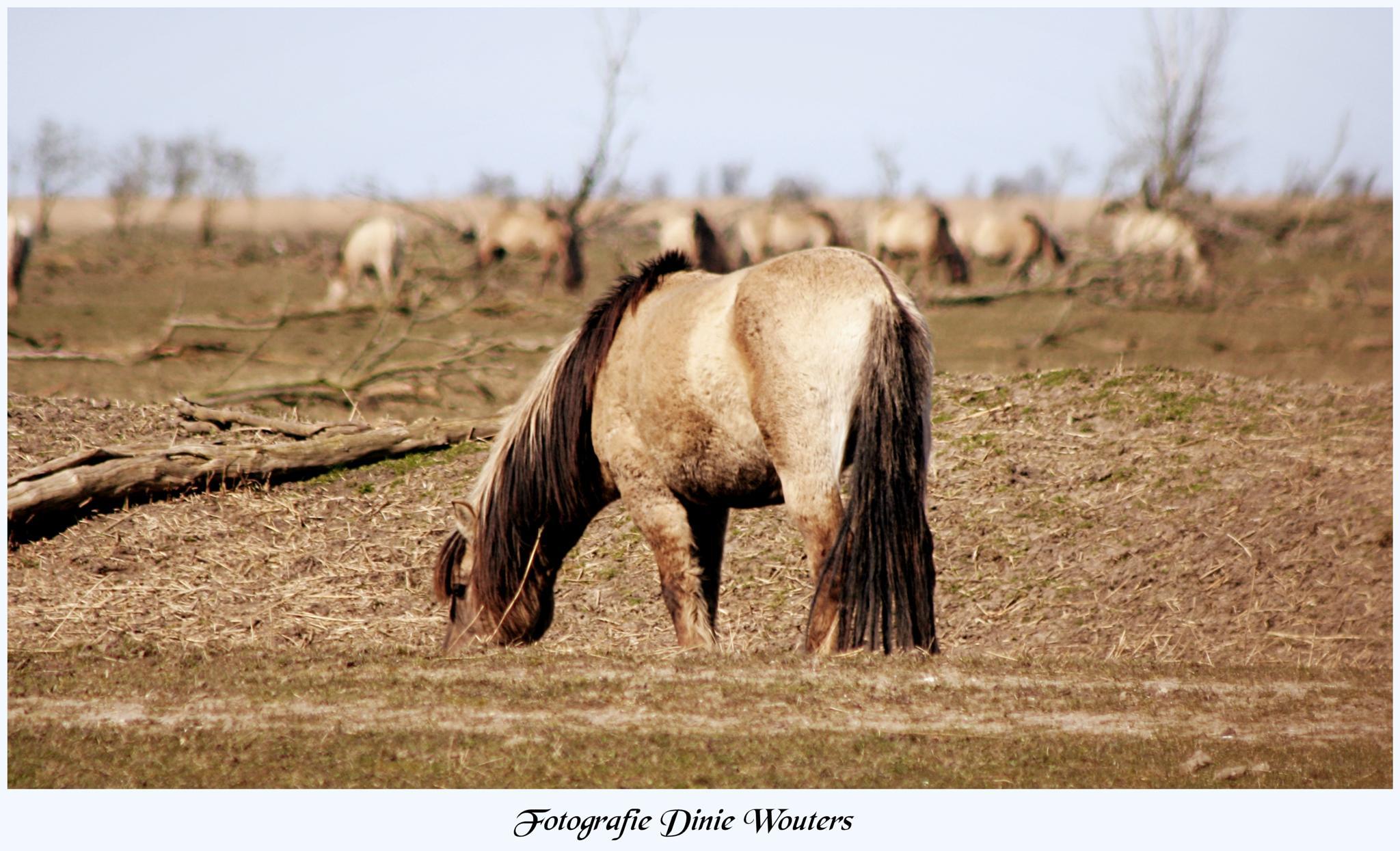 Ooievaars Plassen / Konik paarden by Dinie