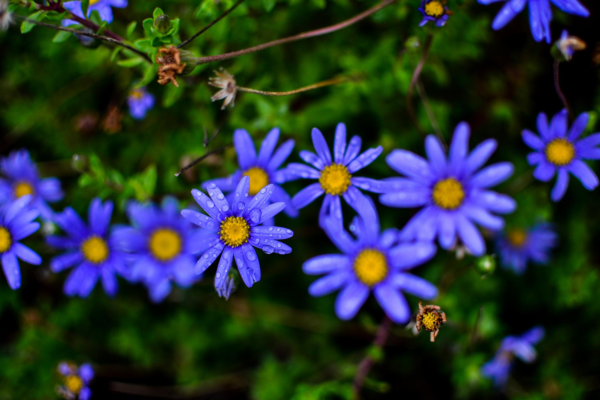Blue Daisy by MikeB28