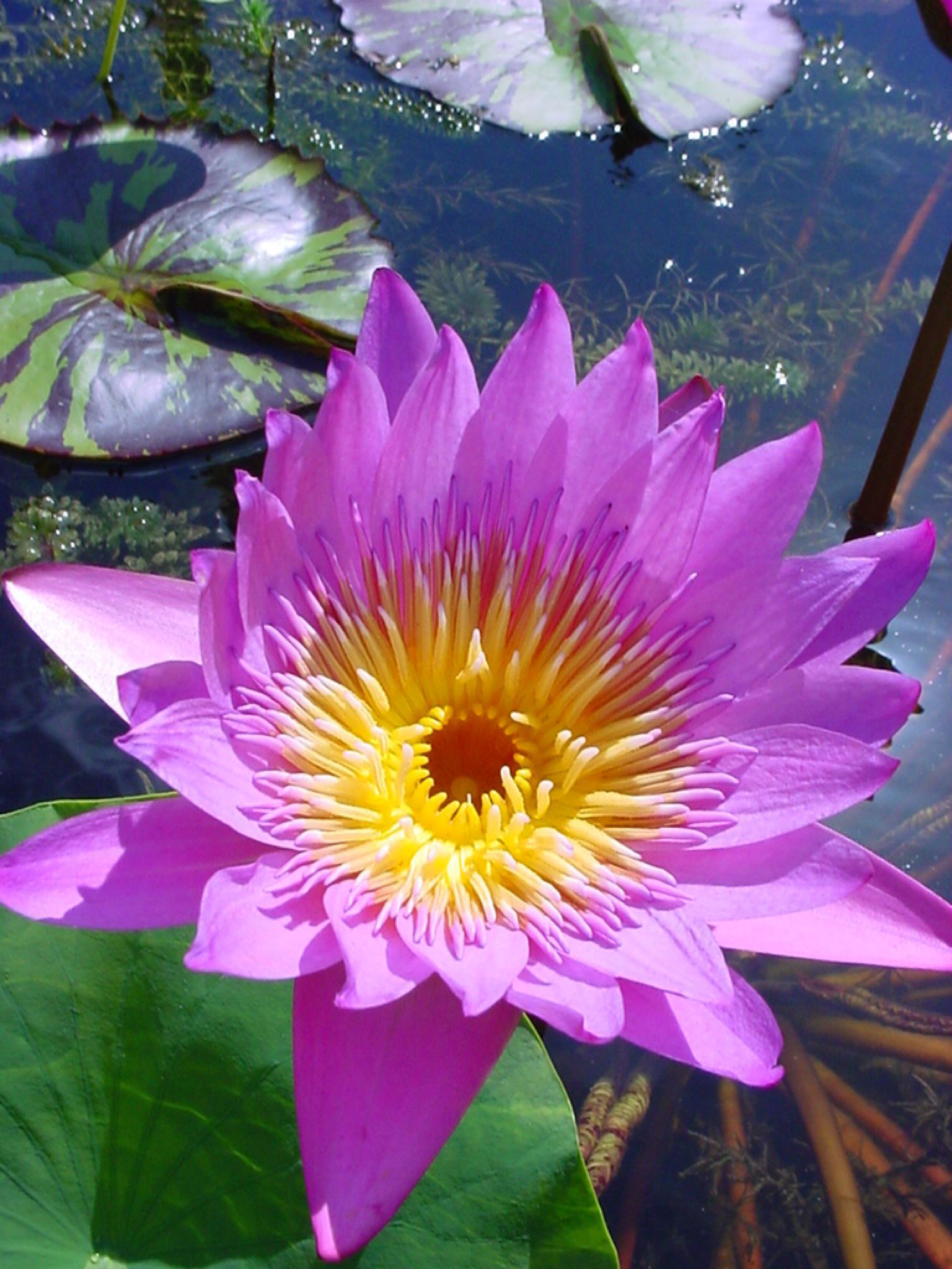 Lily Pond - 002 by Ozroo