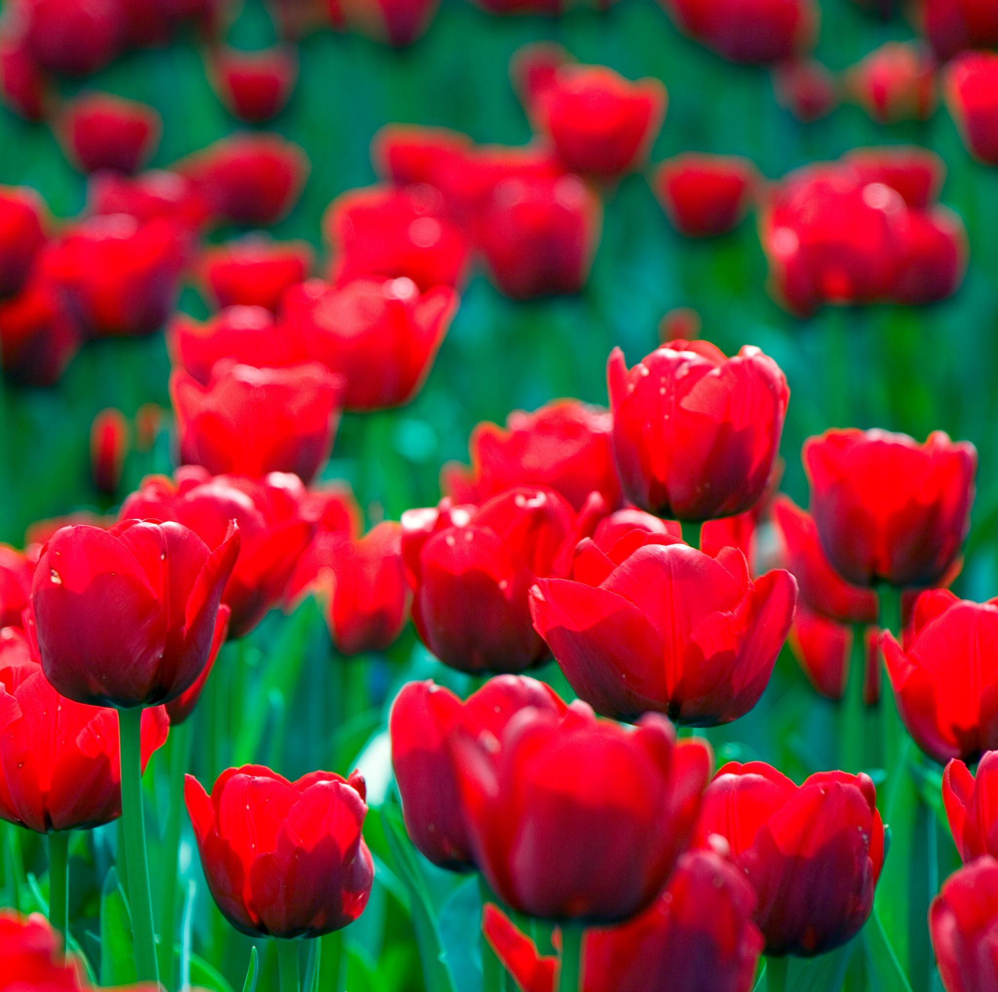 Tulips - 017 by Ozroo
