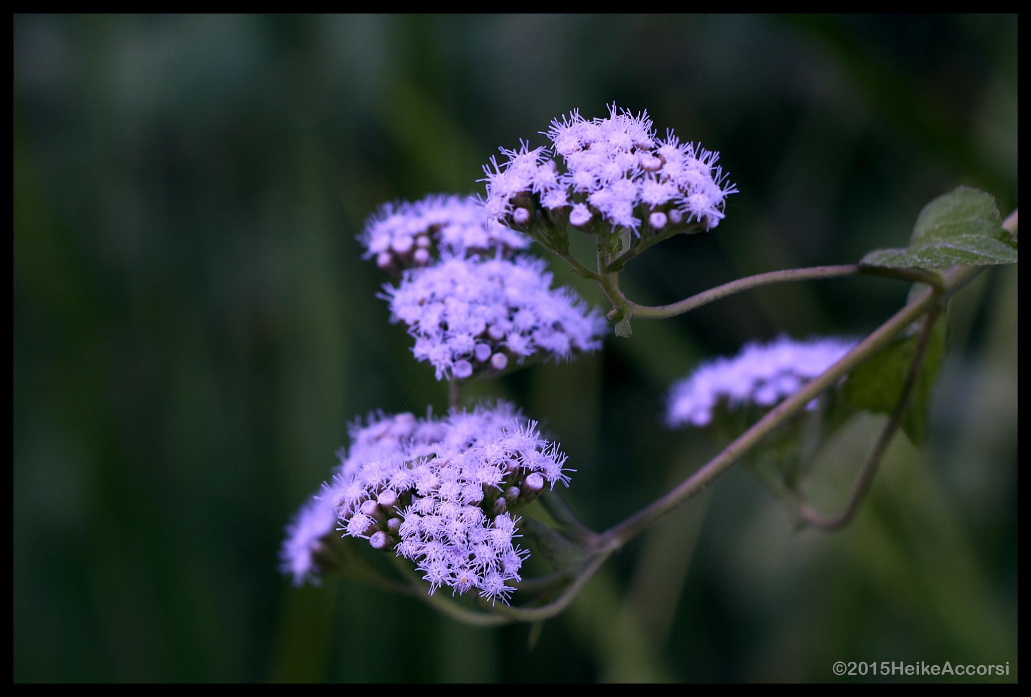 Fuzzy & Purple by Heike Accorsi