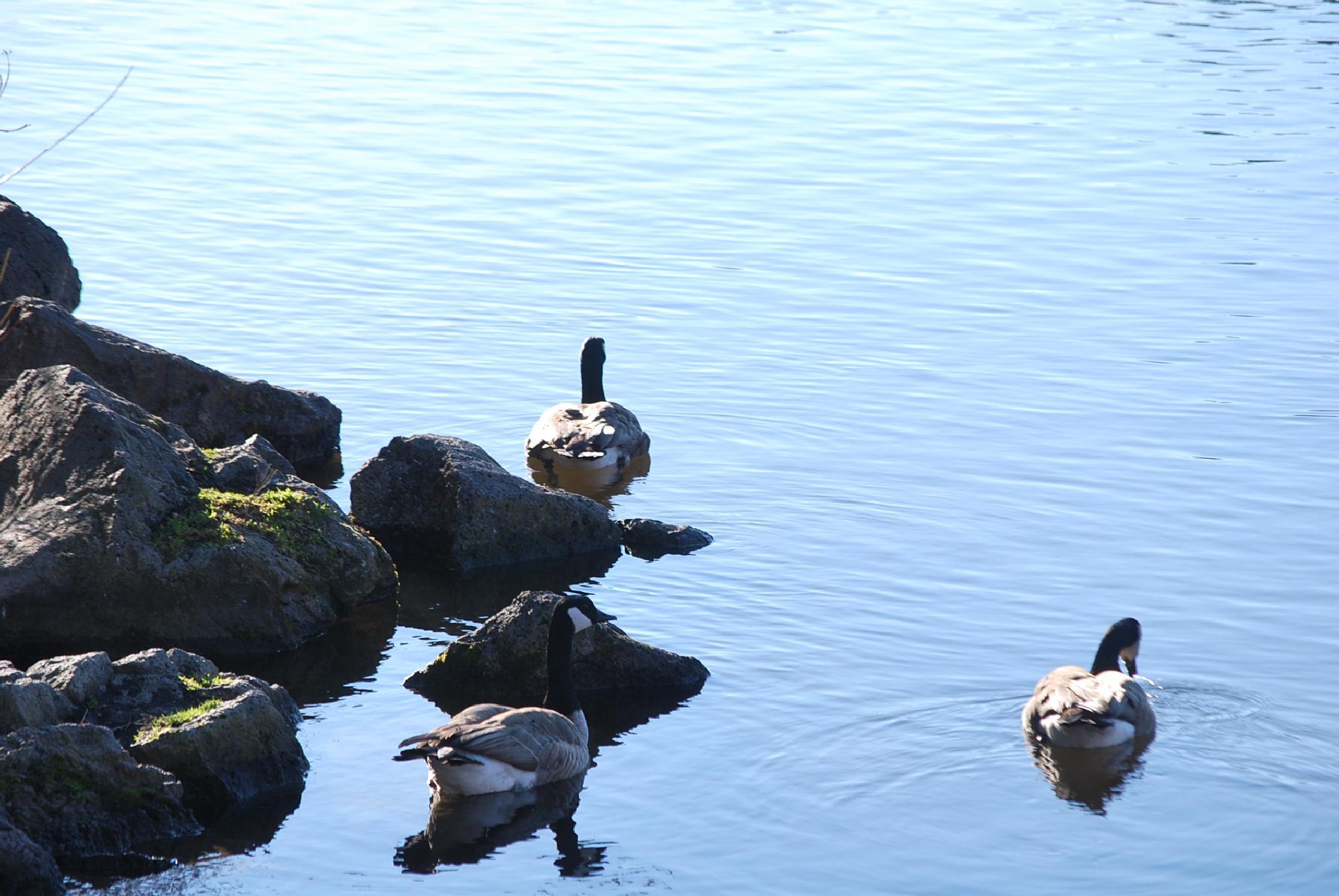 Canadian Geese by marilyn wirtz