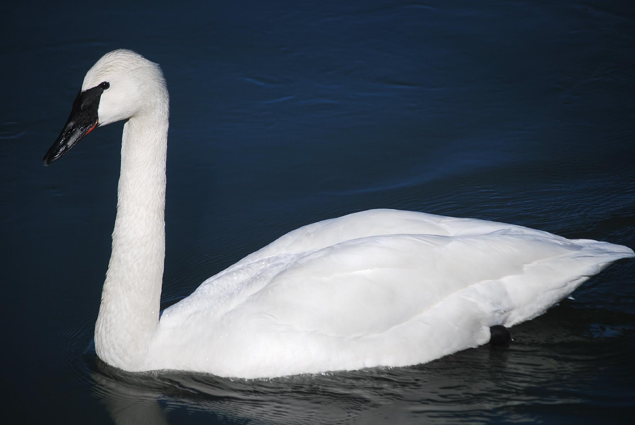 Swan by marilyn wirtz