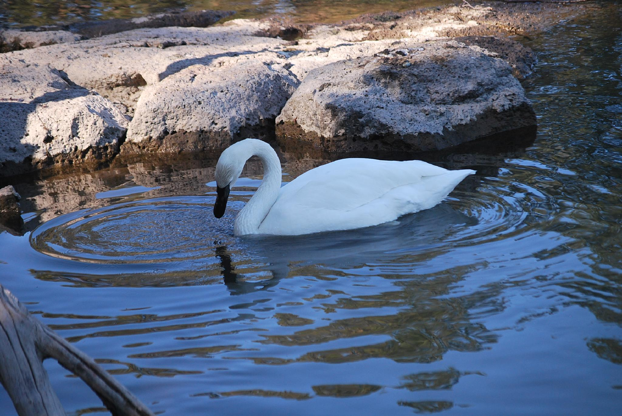Swan on water by marilyn wirtz