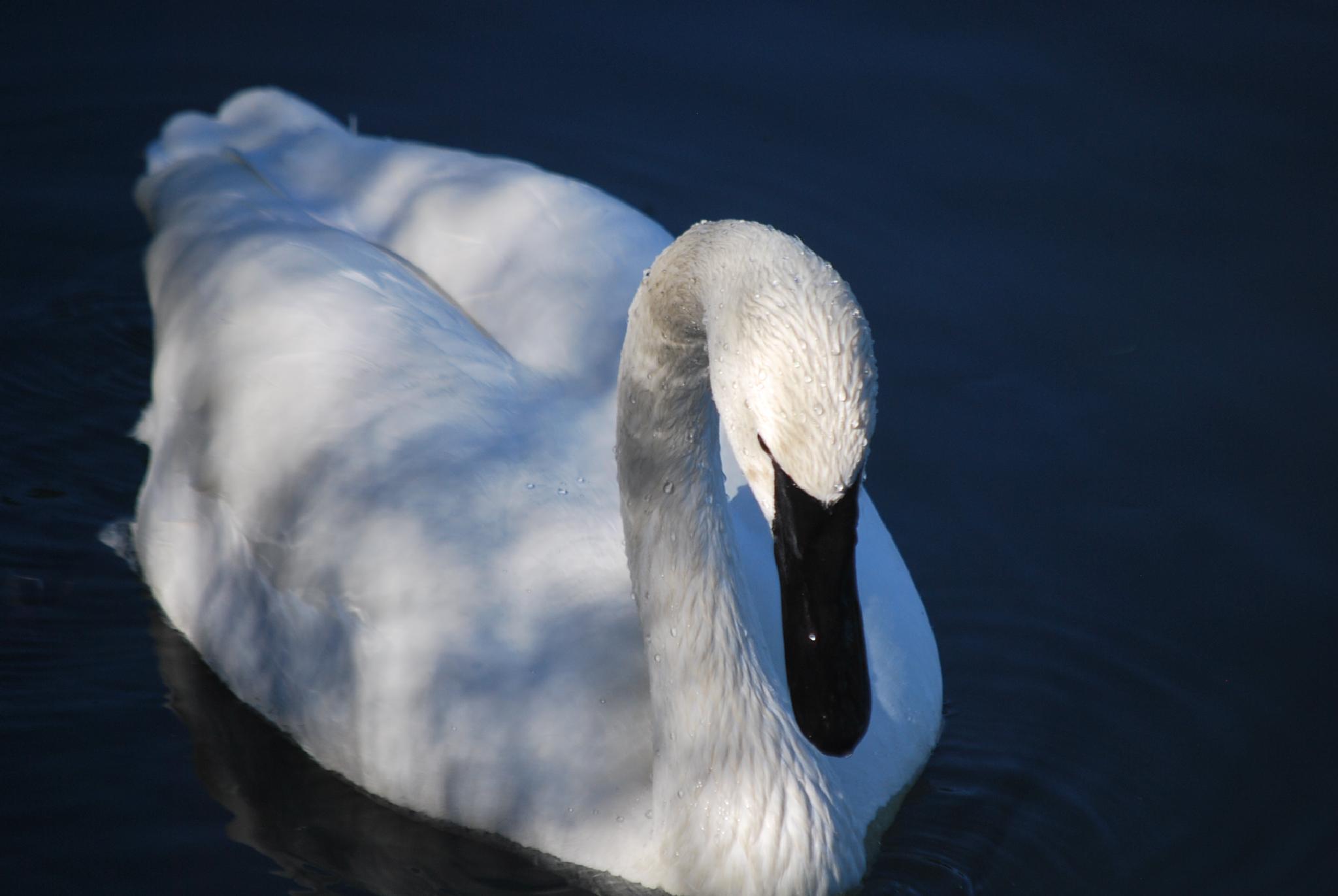 Swan in shadow by marilyn wirtz