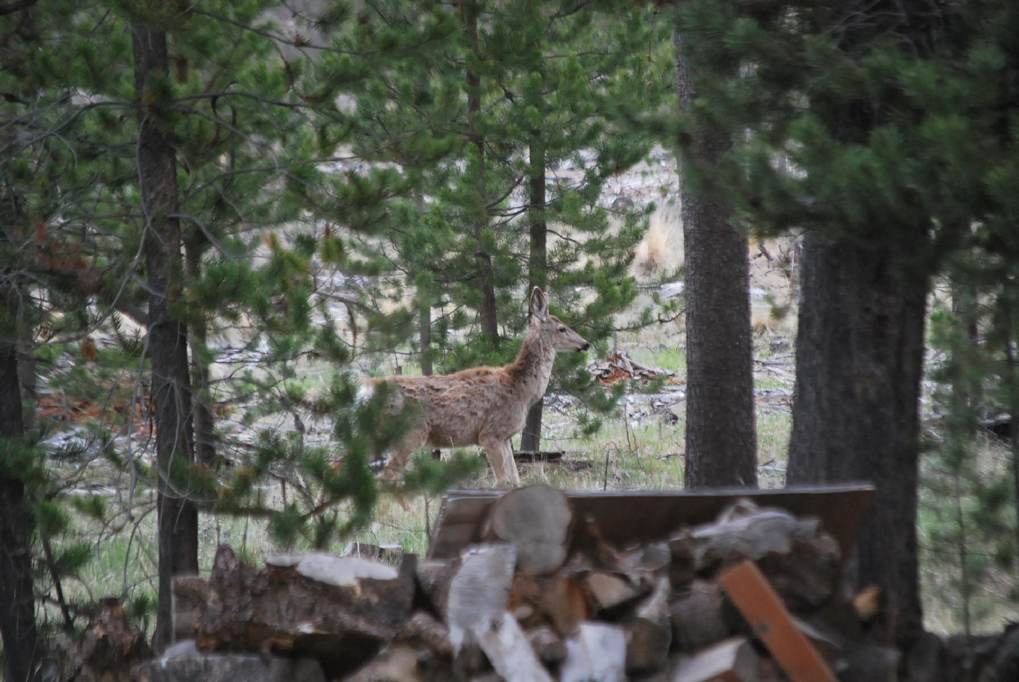 Deer in side yard by marilyn wirtz