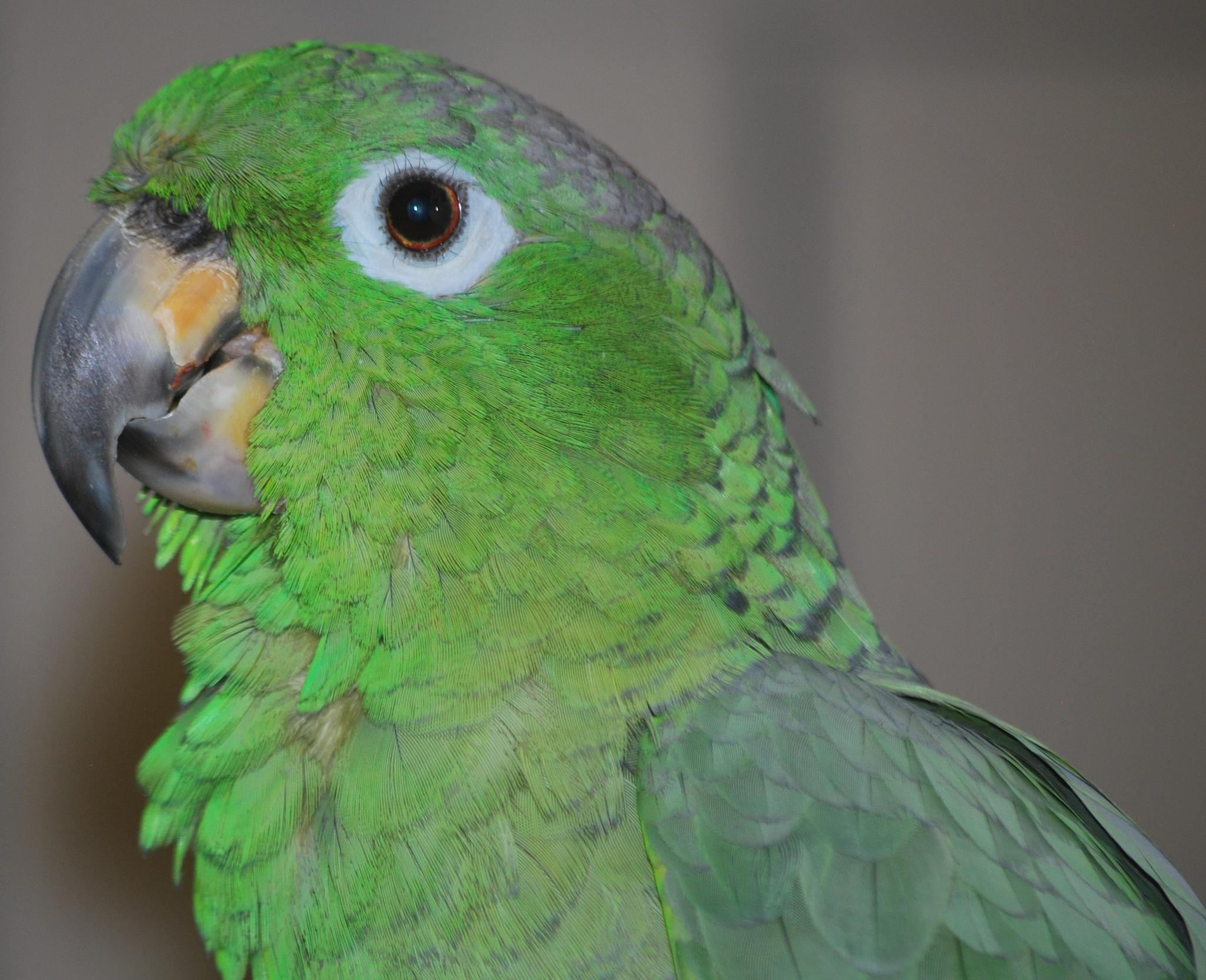 Black billed green amazon parrot by marilyn Simkin