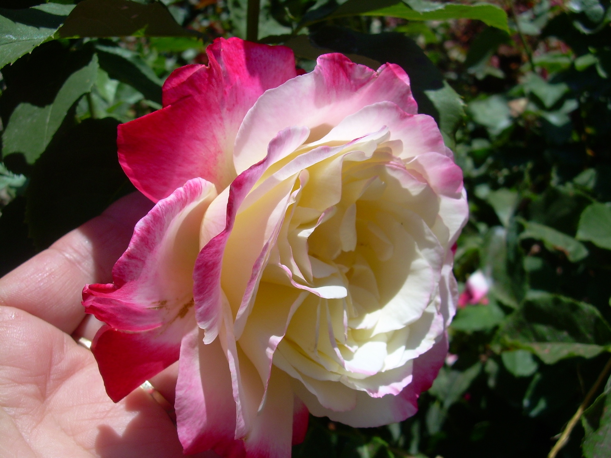 Pink and White Rose by marilyn wirtz