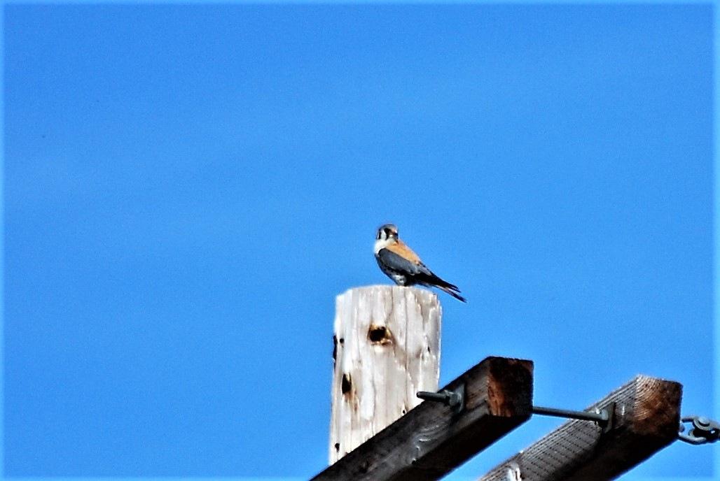 A small hawk by marilyn Simkin