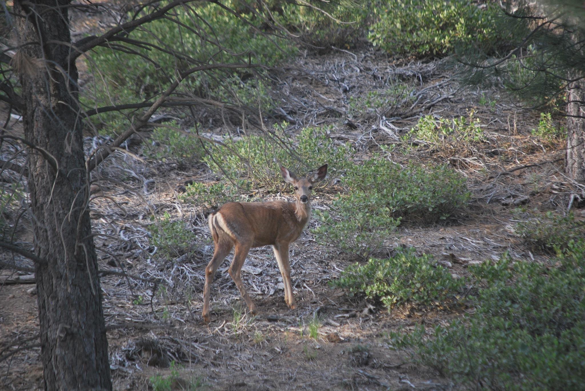 Mule deer by marilyn wirtz