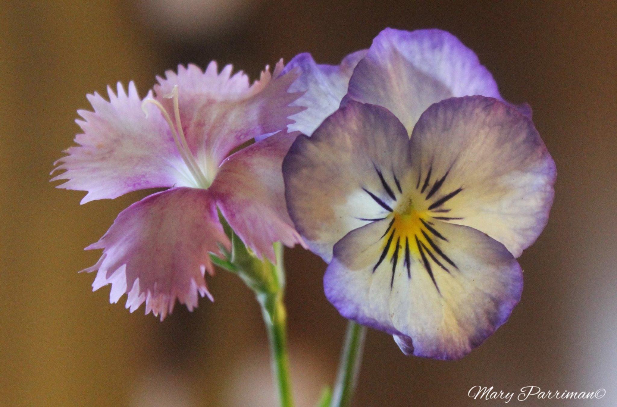 Photo in Macro #macro #flowers #blooms #spring #pansie