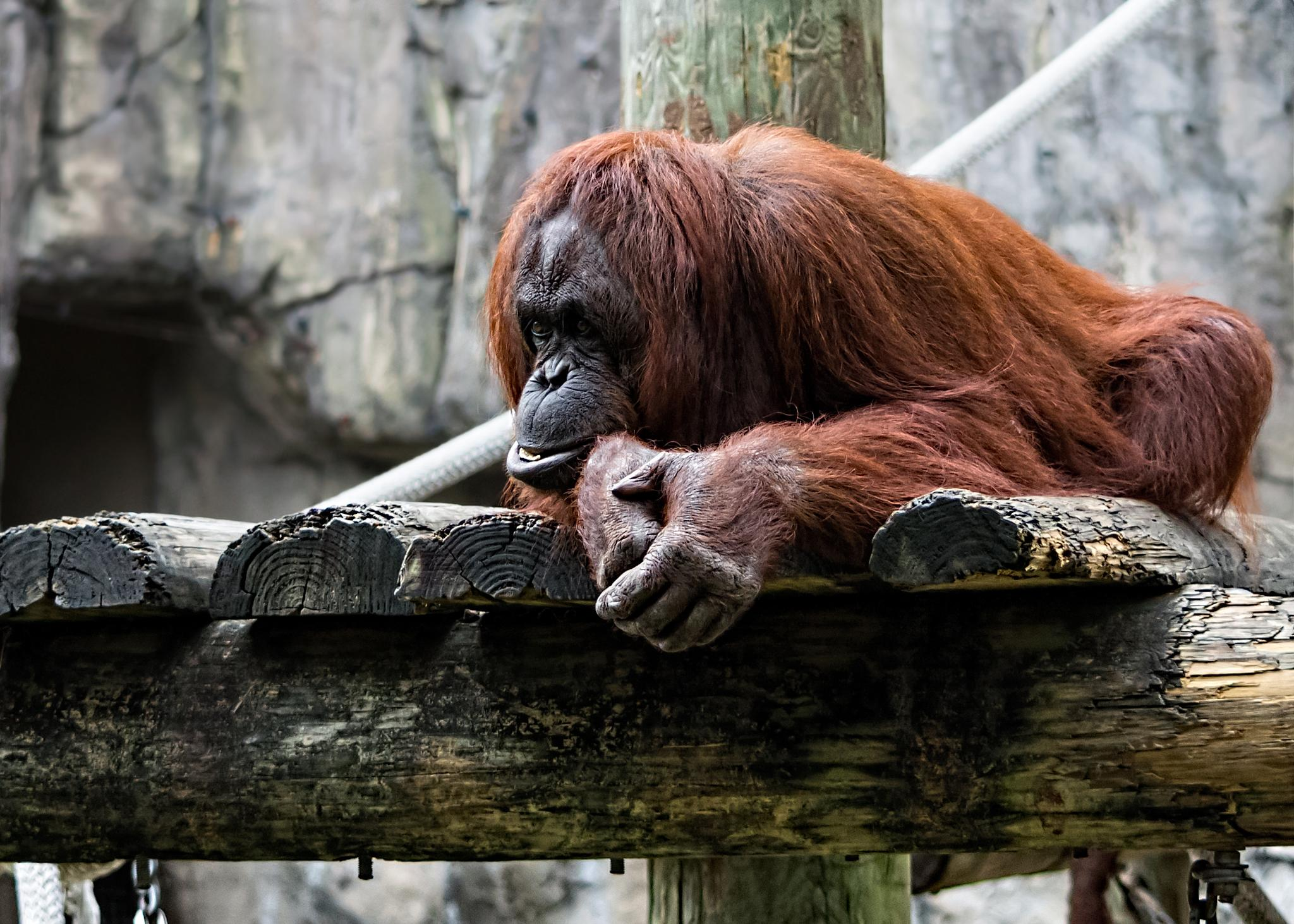 Orangutan just chilling by mtmoodyphotography
