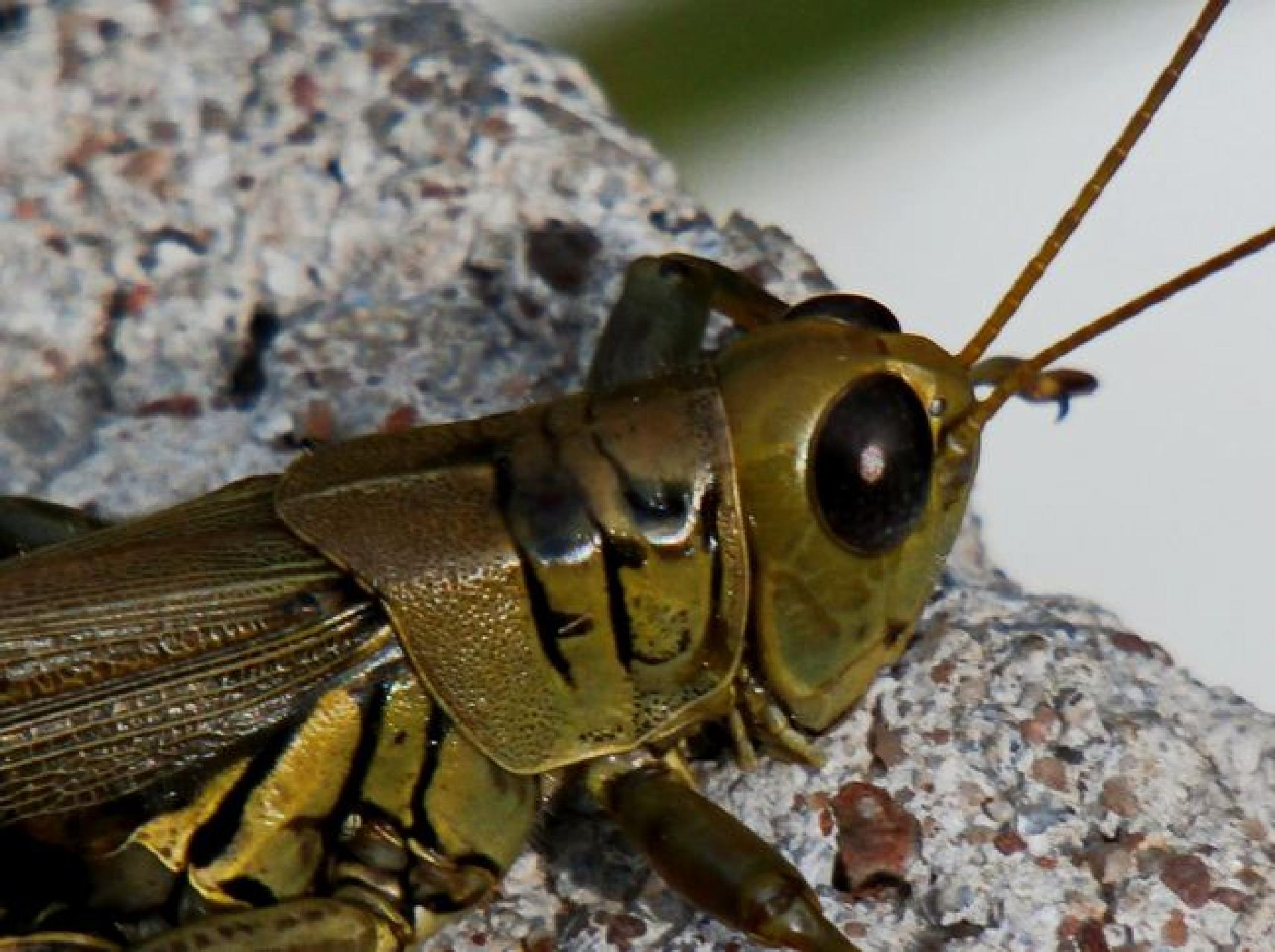 Grasshopper 1 by kymomma1977