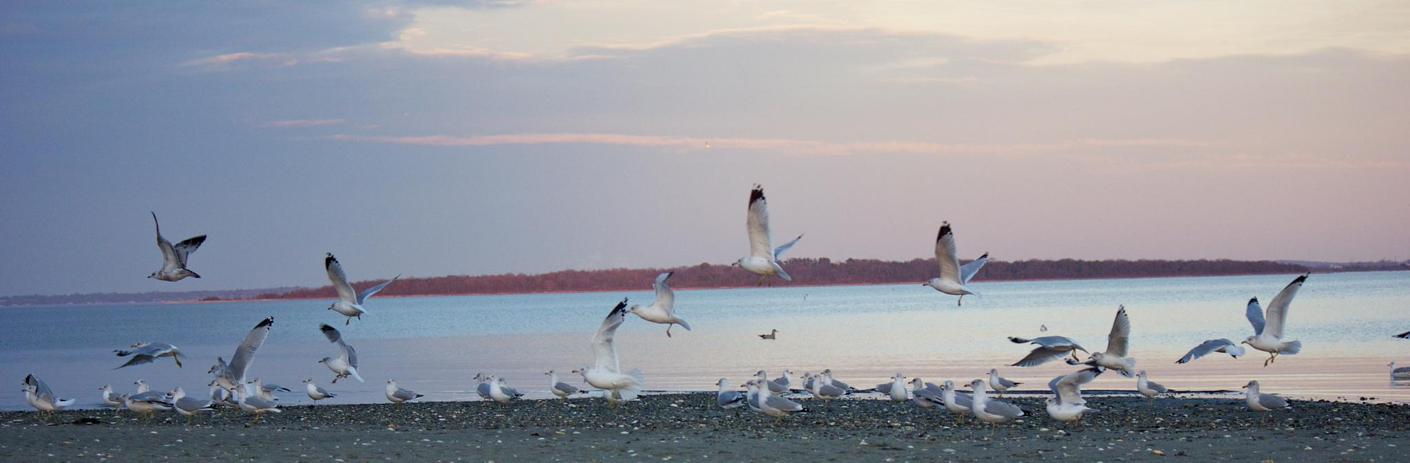 Seagulls at Sunset by kcimini