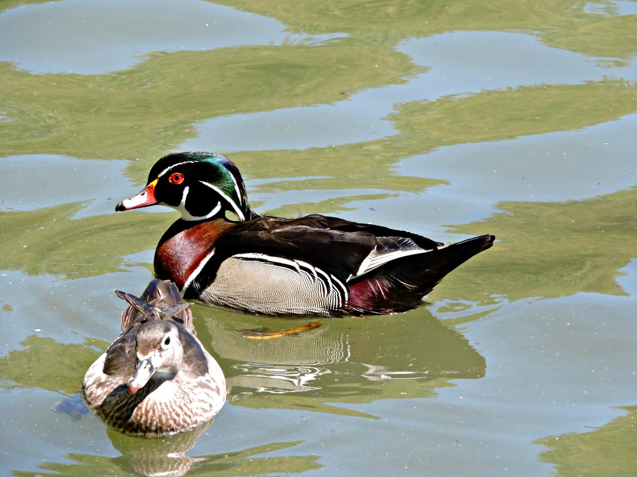 Grumpy Ducks by Janice Bradford