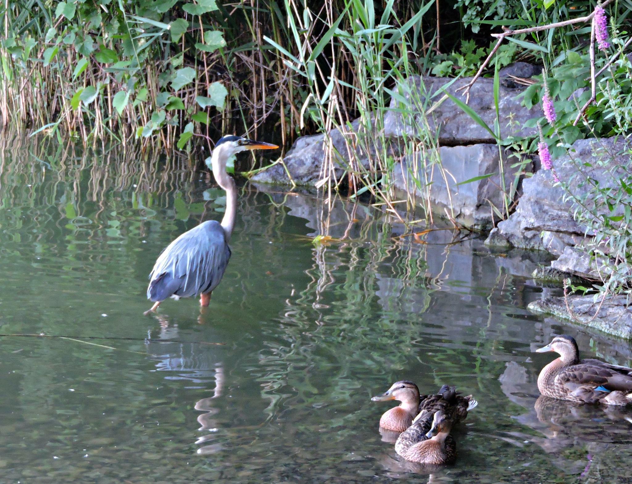 Heron and Ducks  by Janice Bradford
