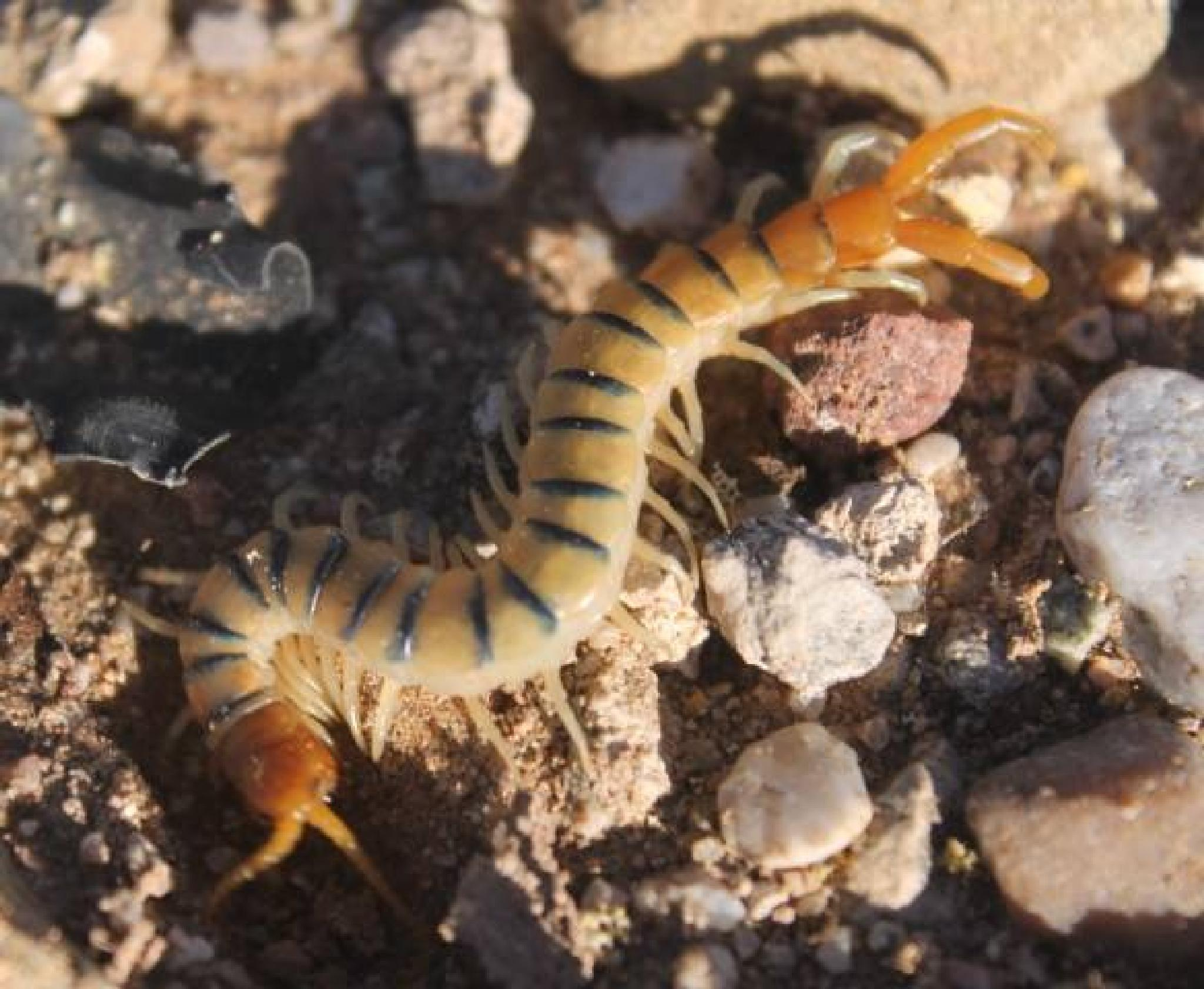 Small Giant Centipede  by clayton.palmer.188