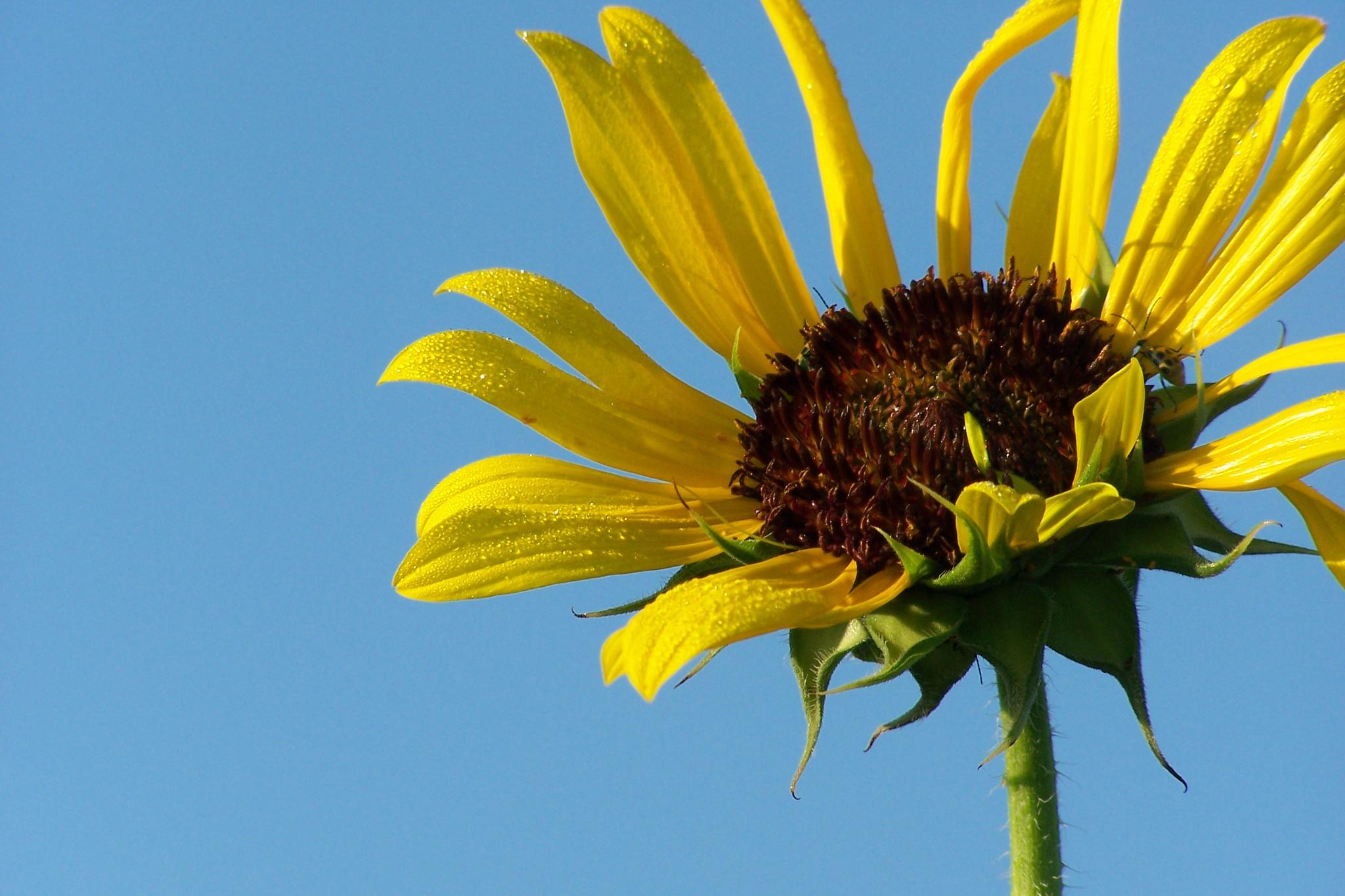 Sunflower Morning by BotanyJen