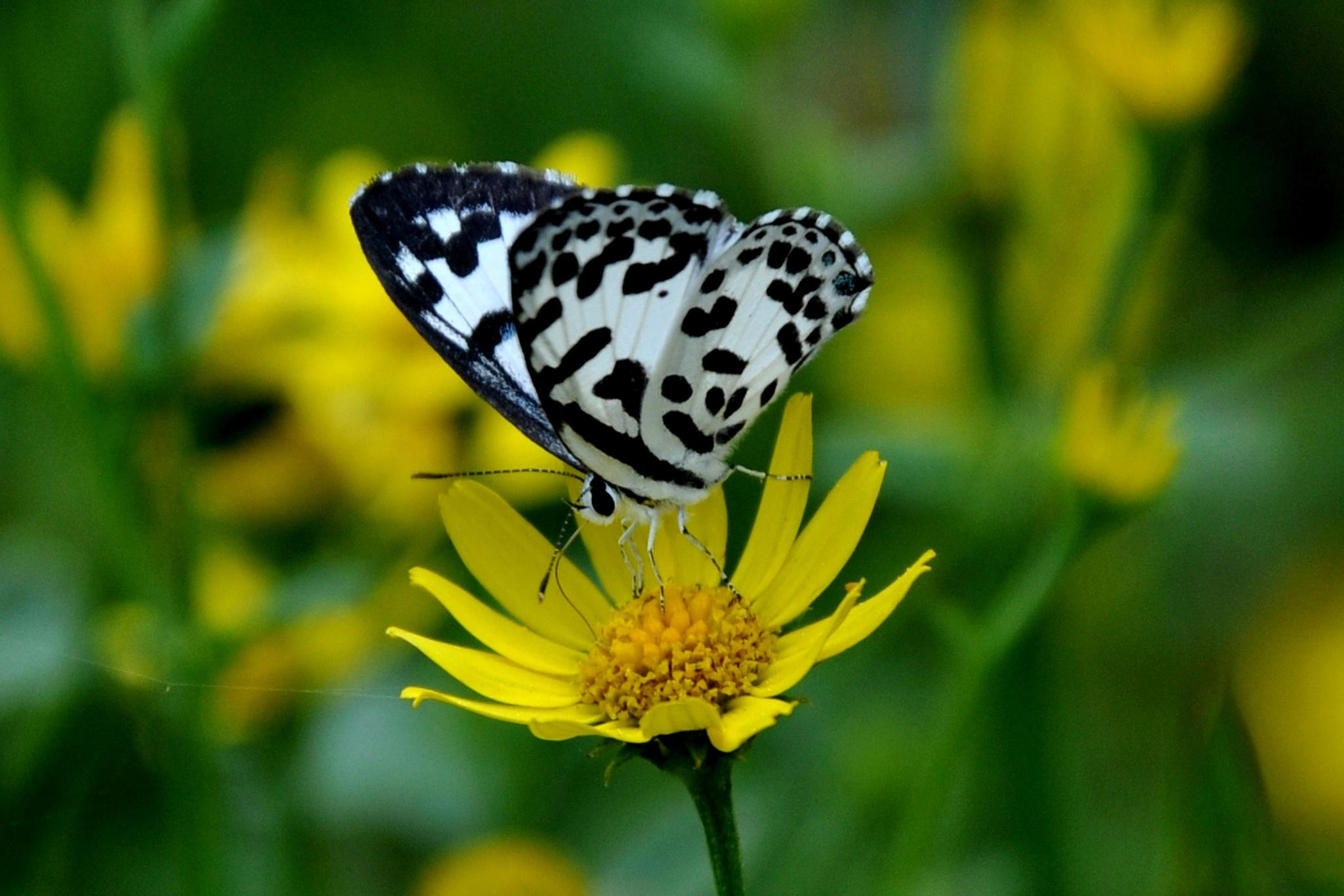 Common Pierrot by Anita Kindre