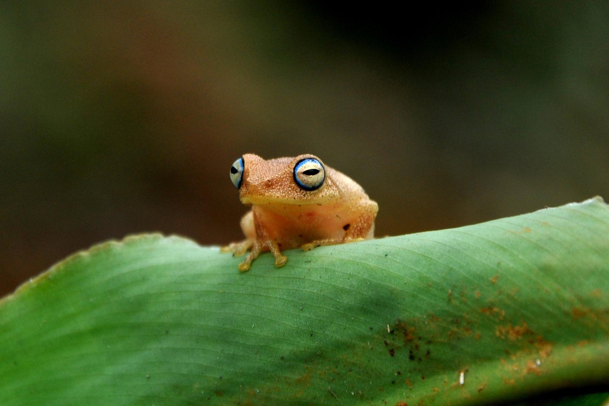 2_Anita Kindre_Blue eyed bush frog by Anita Kindre