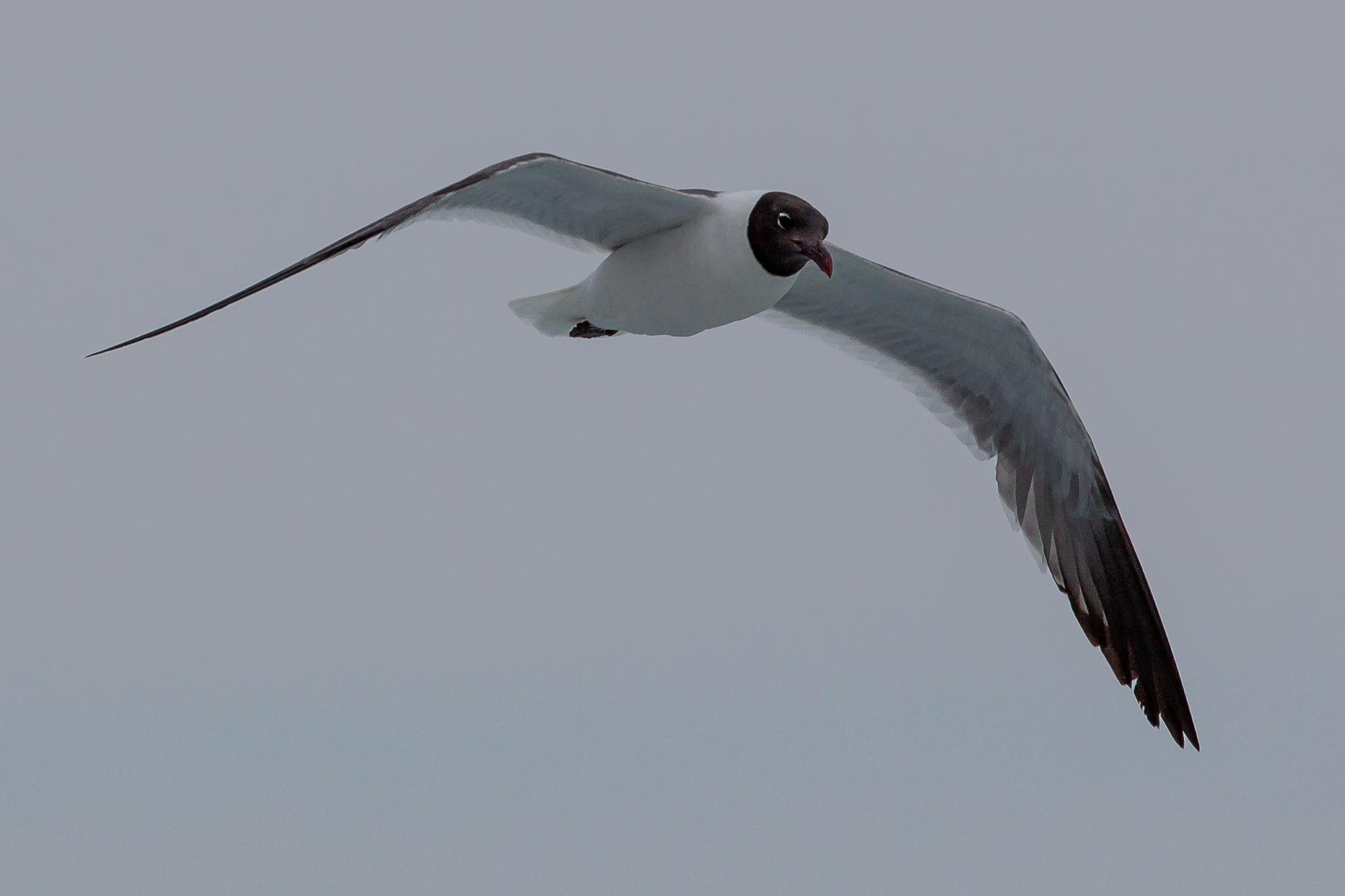Gull by Thomas Baldwin
