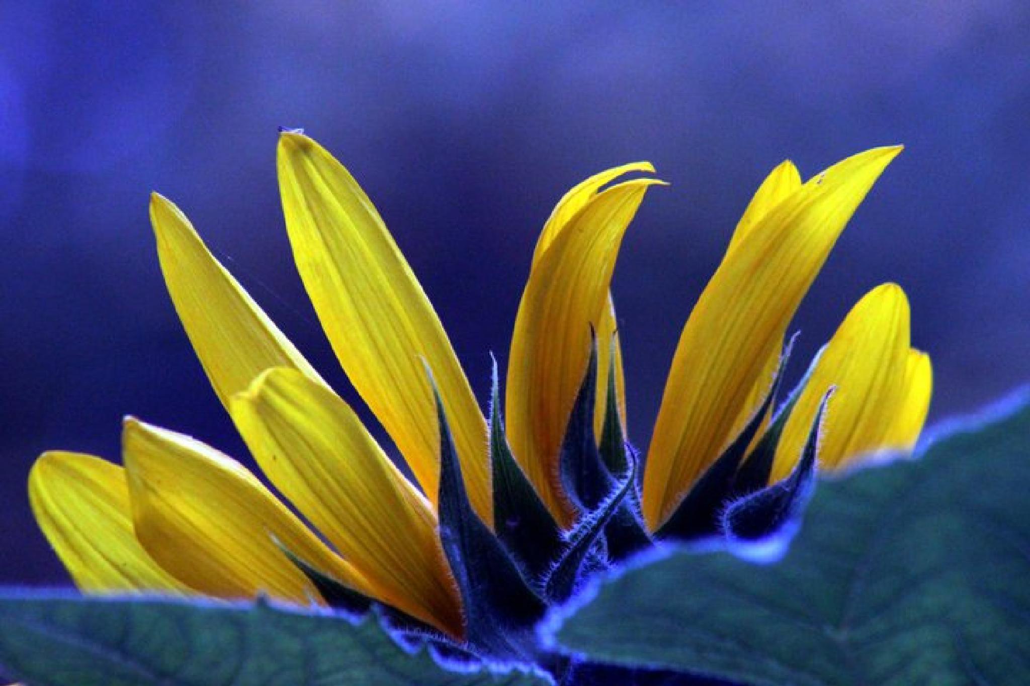 Reverse Sunflower by Nancy Kenney