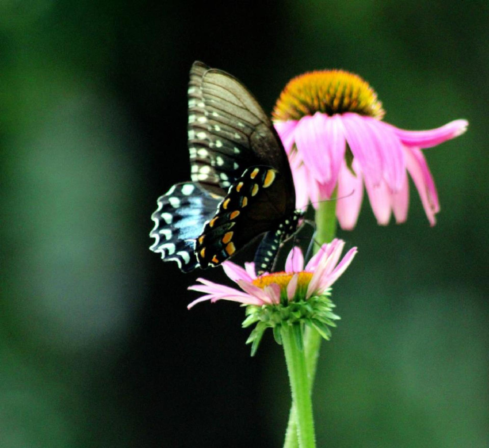 Butterfly by Nancy Kenney
