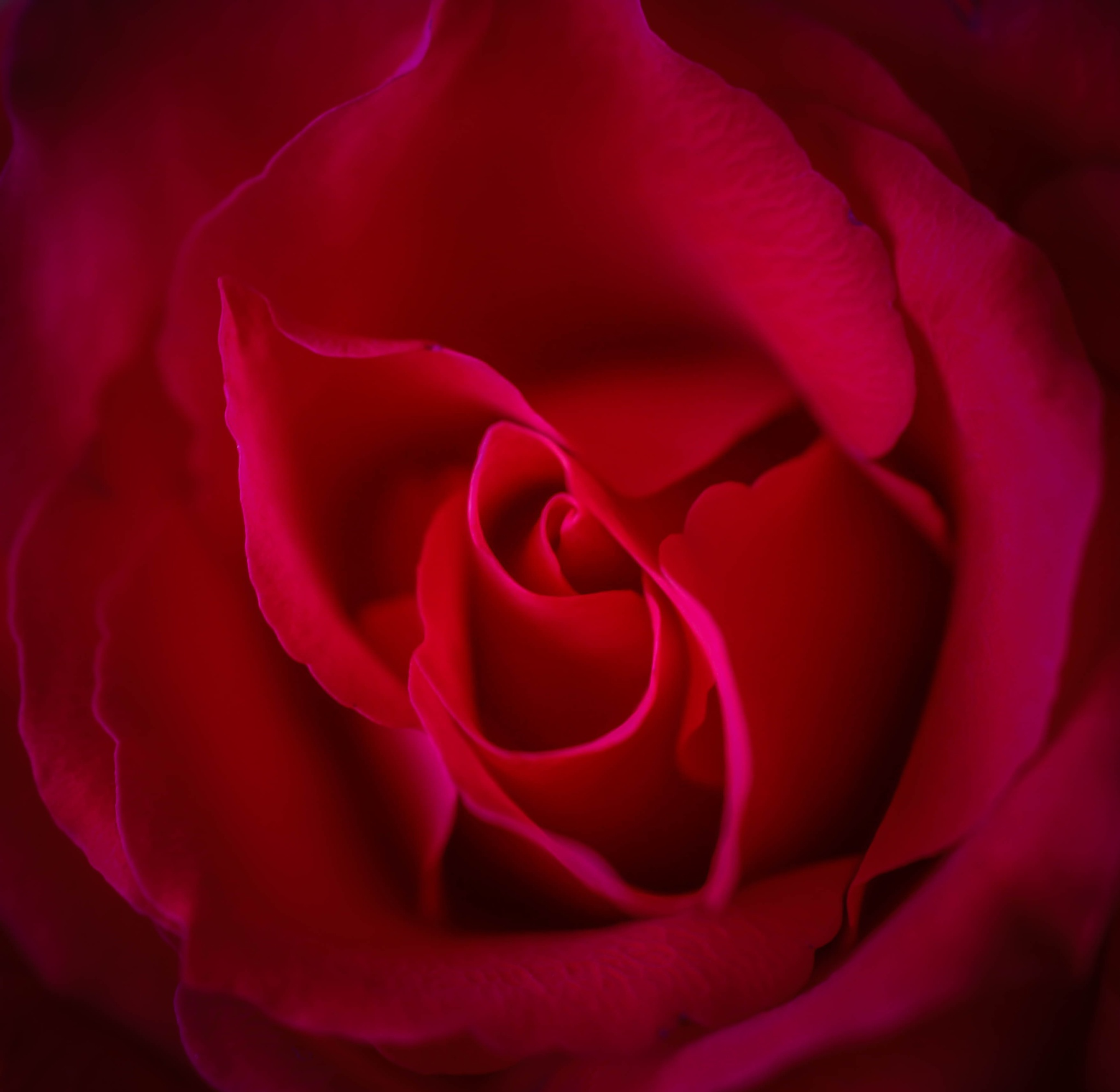 Rose by barbro.hansson.9