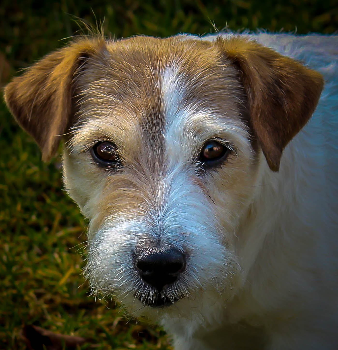 Photo in Random #nature #animal #dog #jack russell #nikki