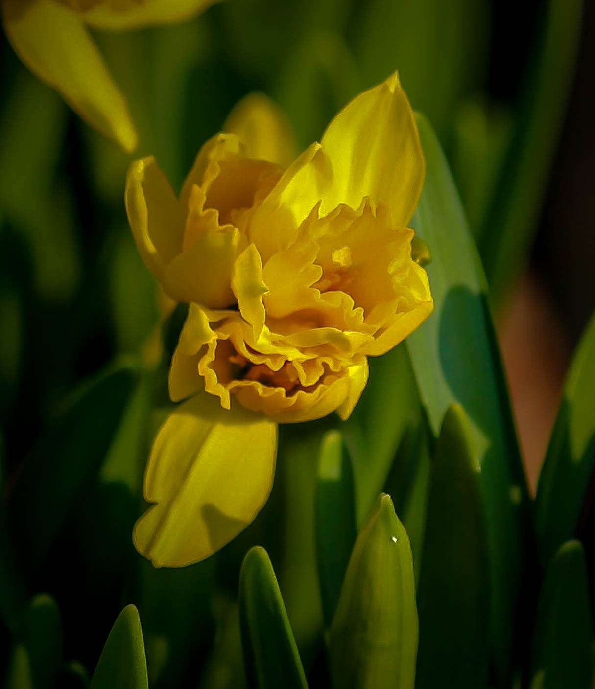 The daffodil meets the day by barbro.hansson.9