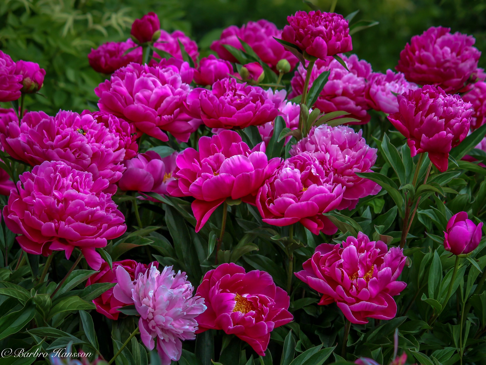 Photo in Nature #nature #close-up #peonies #red