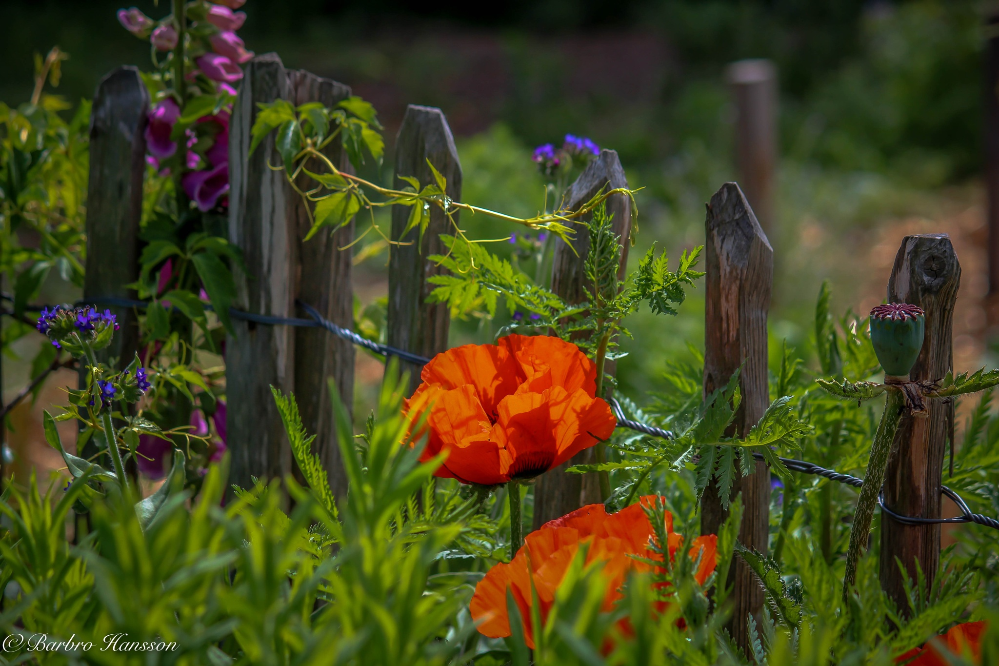 Photo in Nature #nature #fence #poppies #grass
