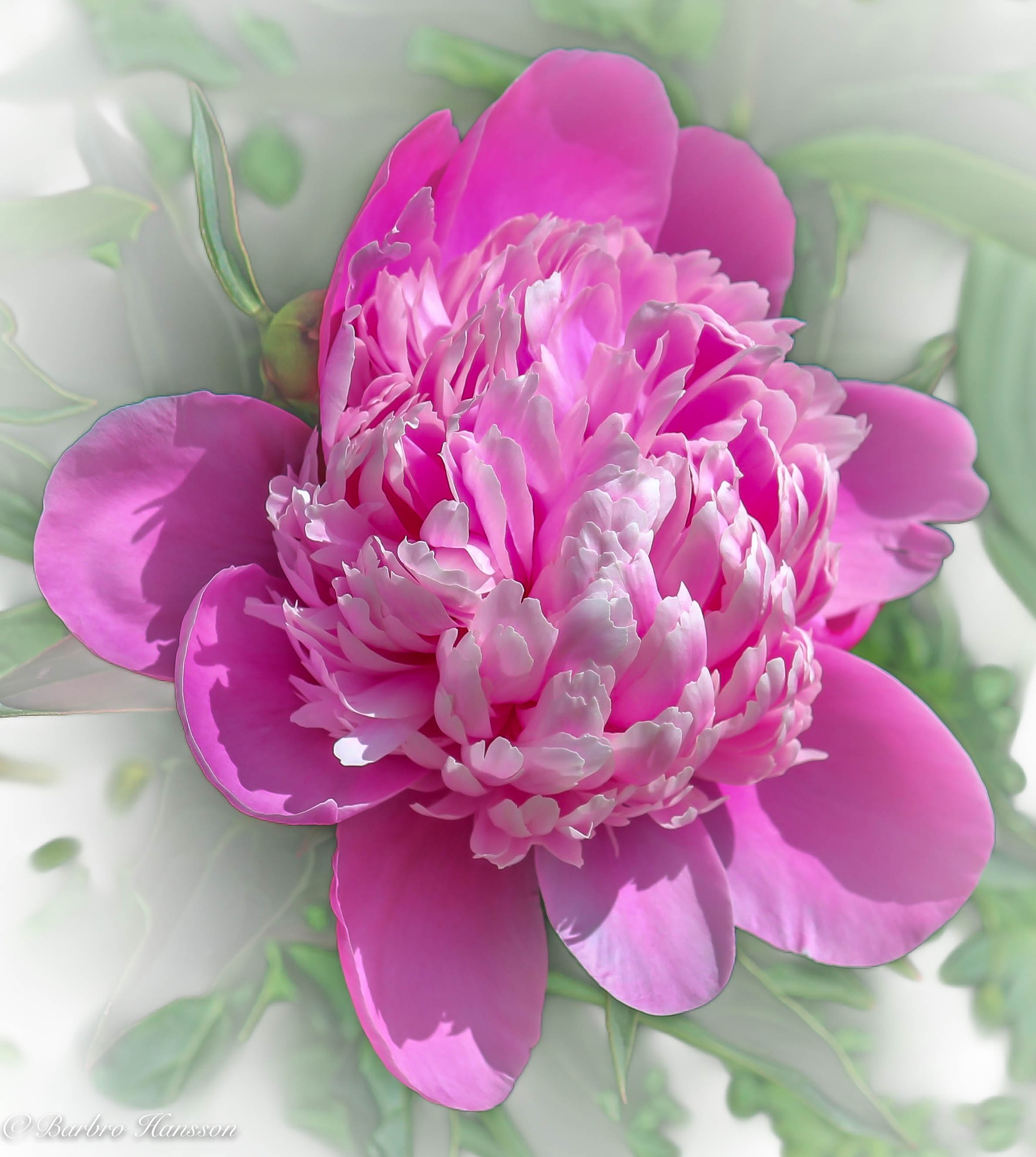 Photo in Nature #nature #close-up #flower #peony #white background