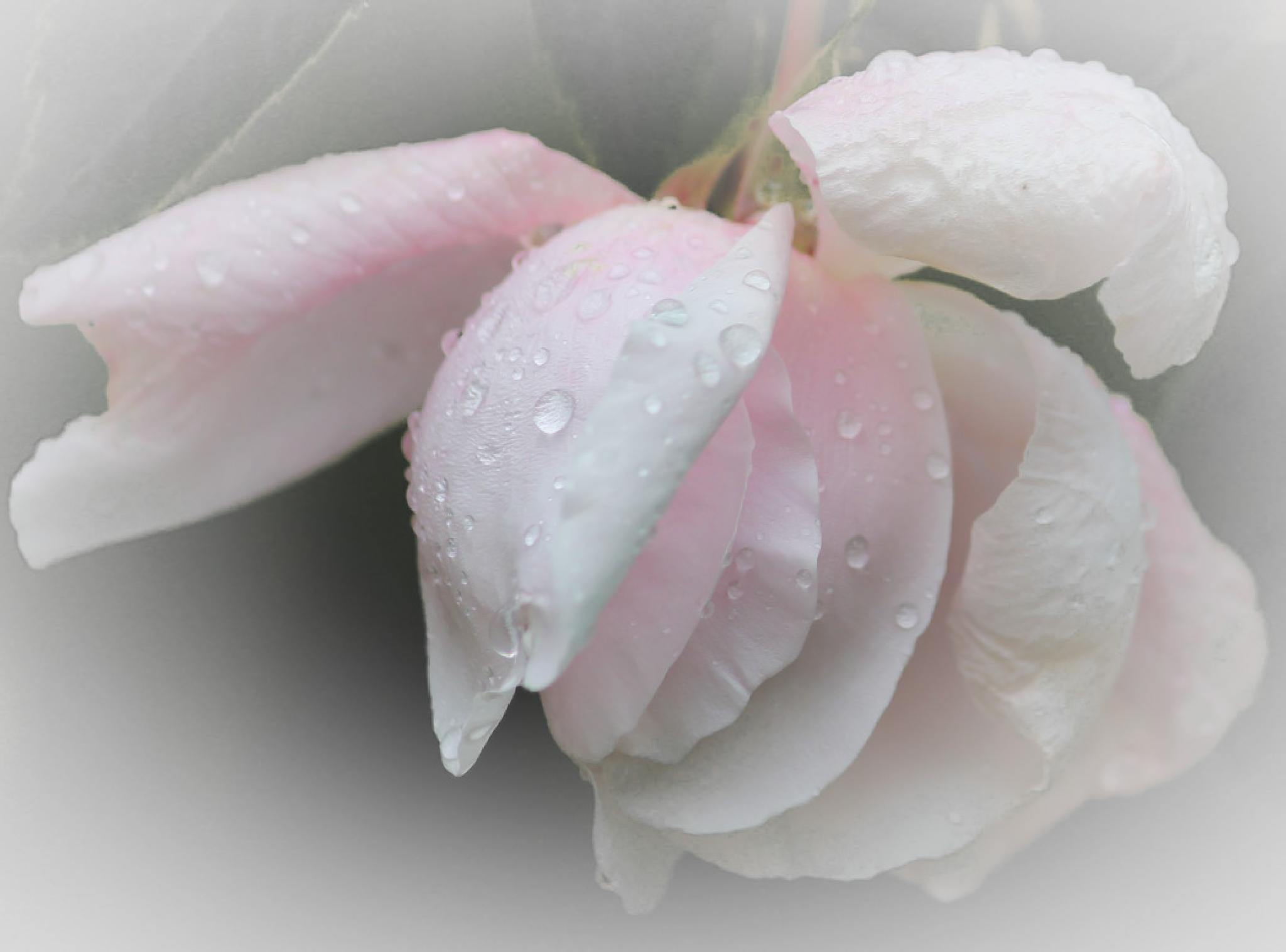 A soft pink rose in the rain by barbro.hansson.9